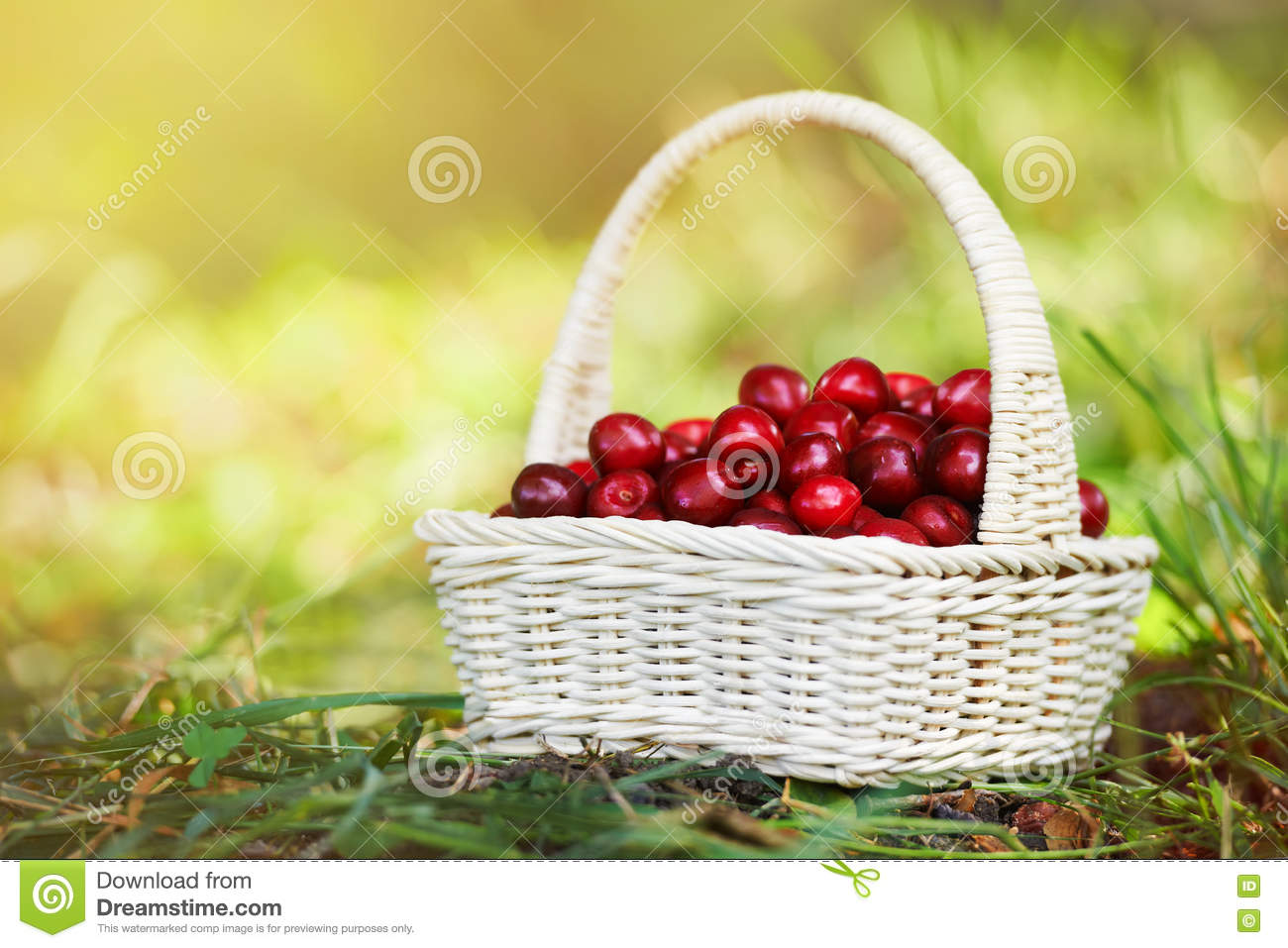 A small wicker hand basket full of ripe cherry in the sun light