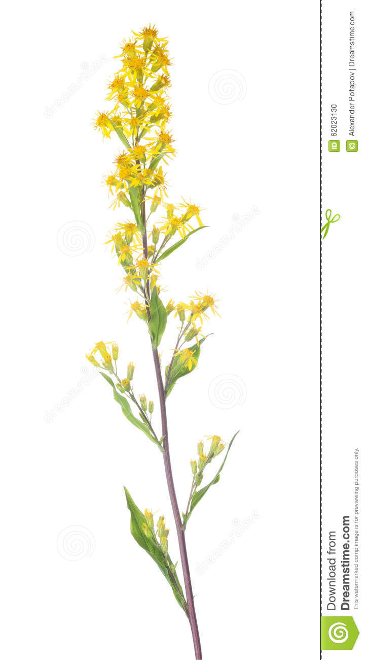 Small Wild Yellow Flowers On Long Stem Stock Photo Image Of Plant