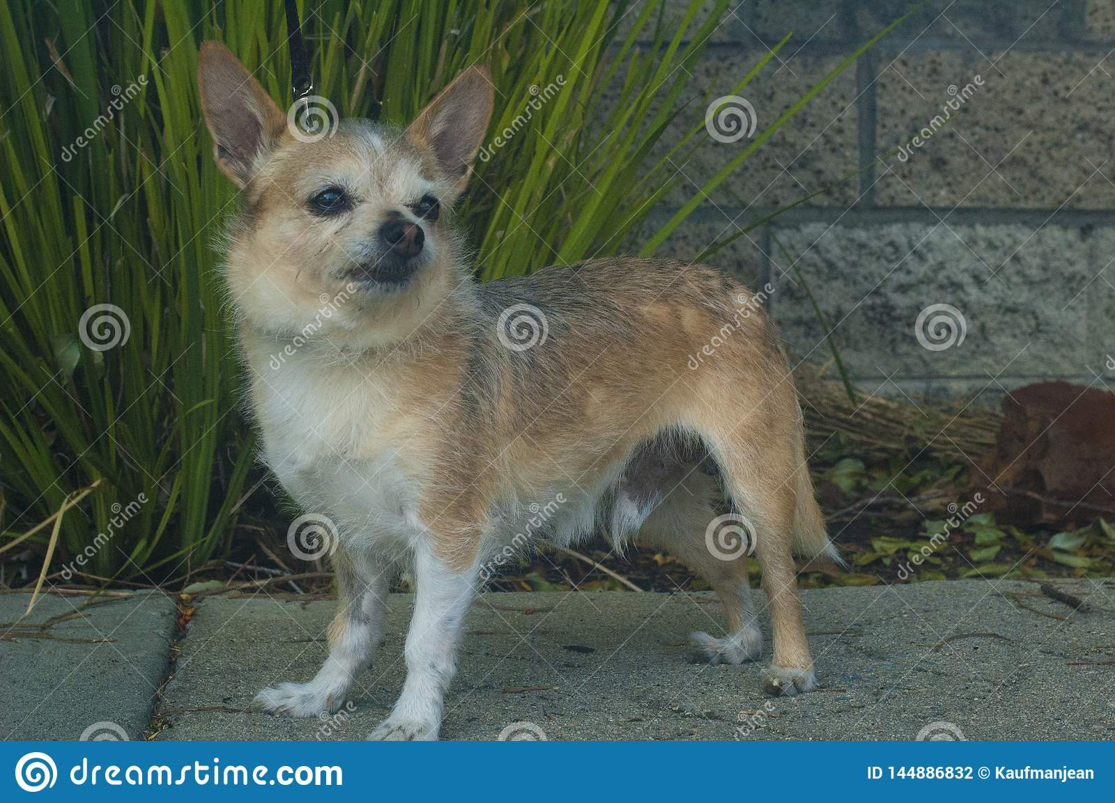 Small Wire haired chihuahua dog looking right