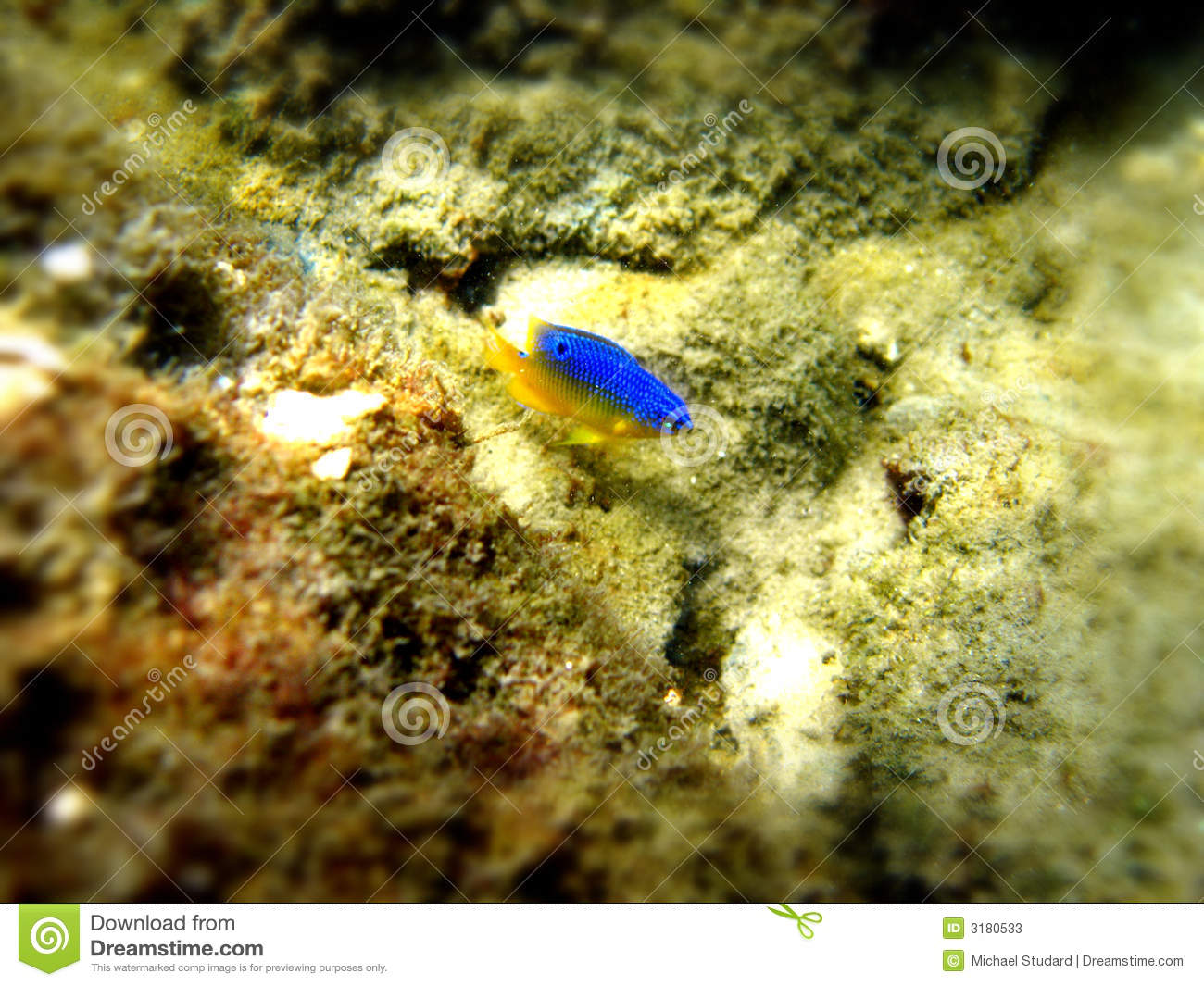 Small yellow and blue fish stock image image of city for Blue fish florida
