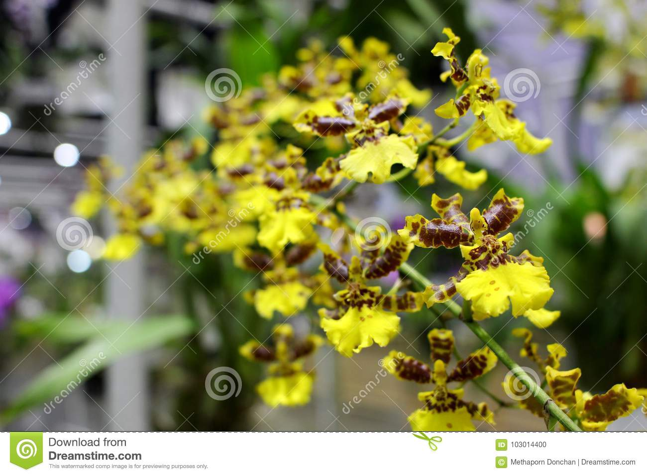Small Yellow And Brown Orchids Flower With Green Orchids Leaf