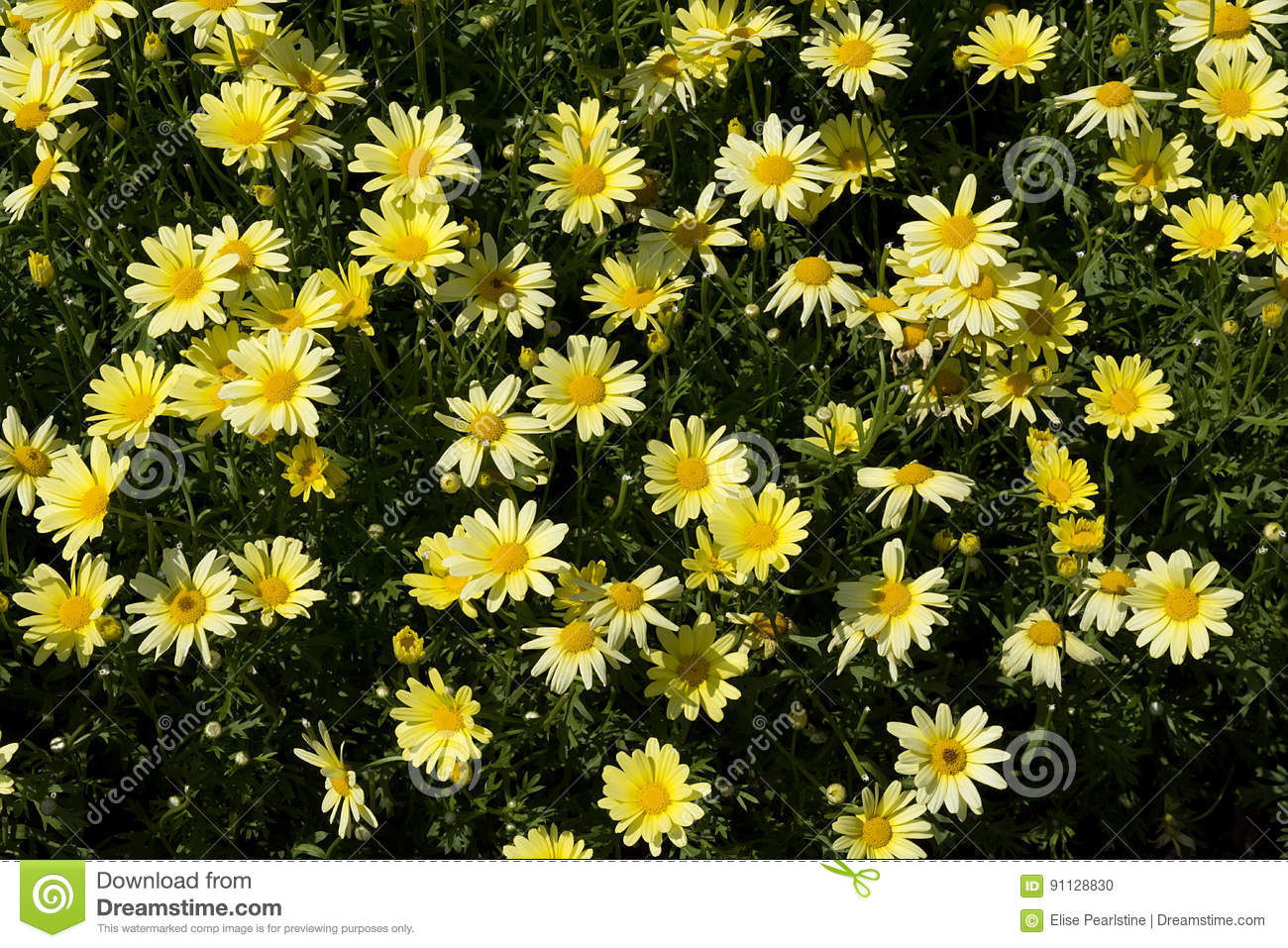 Small yellow daisy type flowers stock photo image 91128830 royalty free stock photo dhlflorist Images