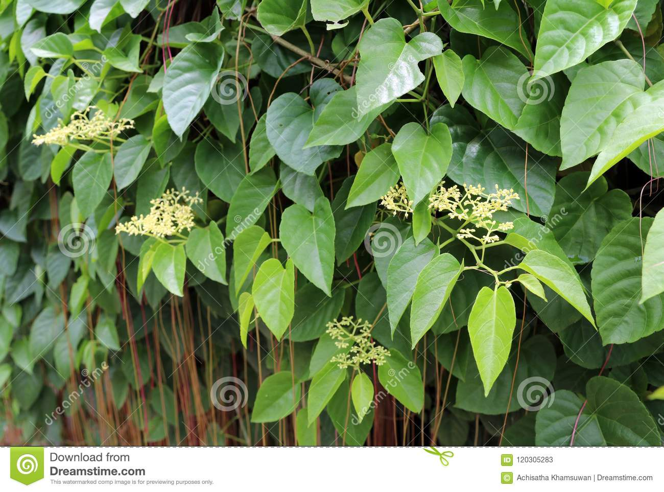 Small Yellow Flower And Green Leaves With Red And Brown Vine Stock
