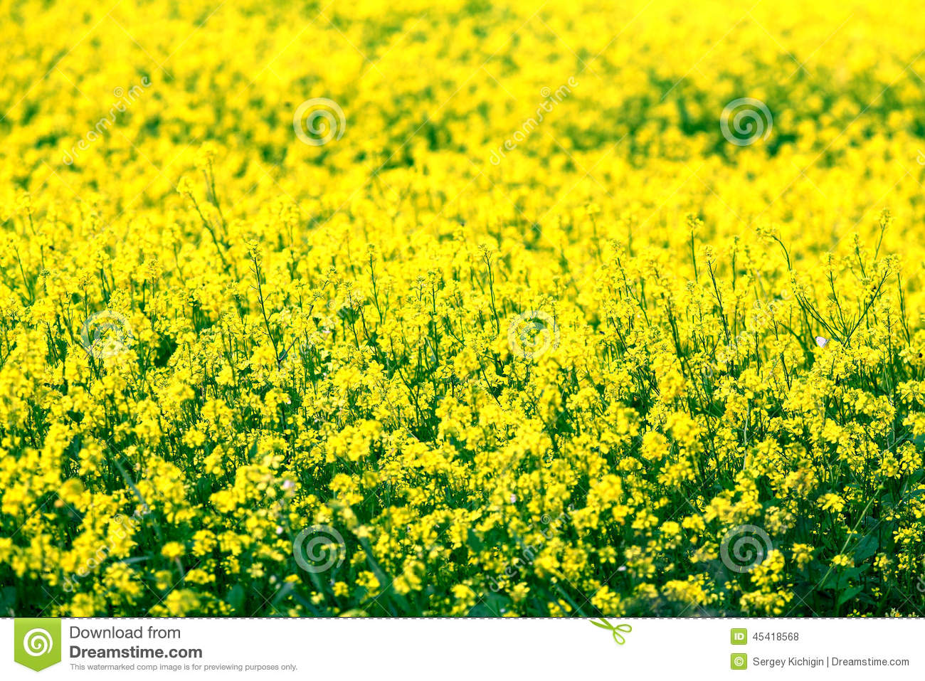 Small yellow flowers in a field stock photo 45418568 megapixl small yellow flowers in a field mightylinksfo