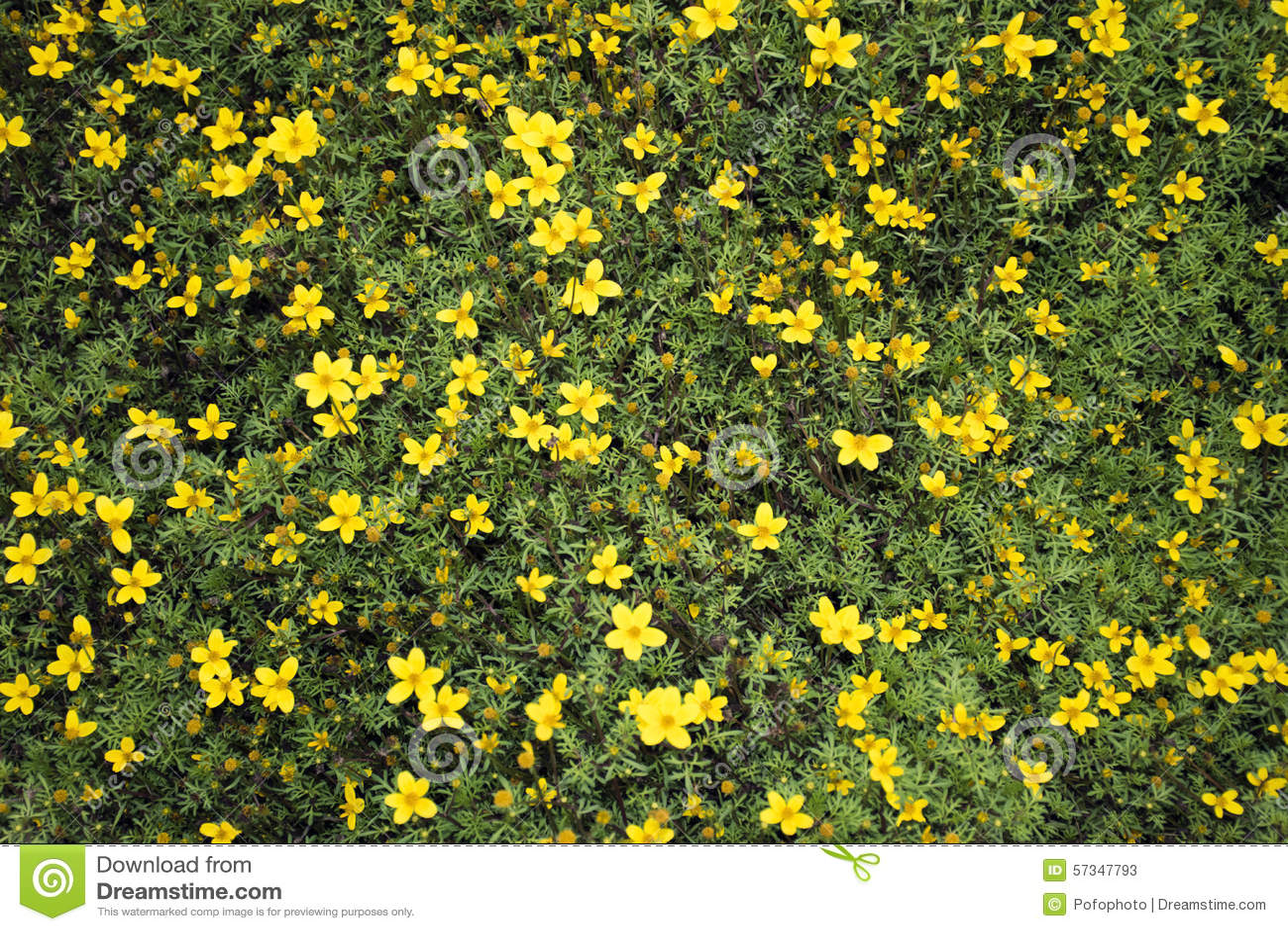 Small yellow flowers bidens ferulifolia stock image image of small yellow flowers bidens ferulifolia mightylinksfo