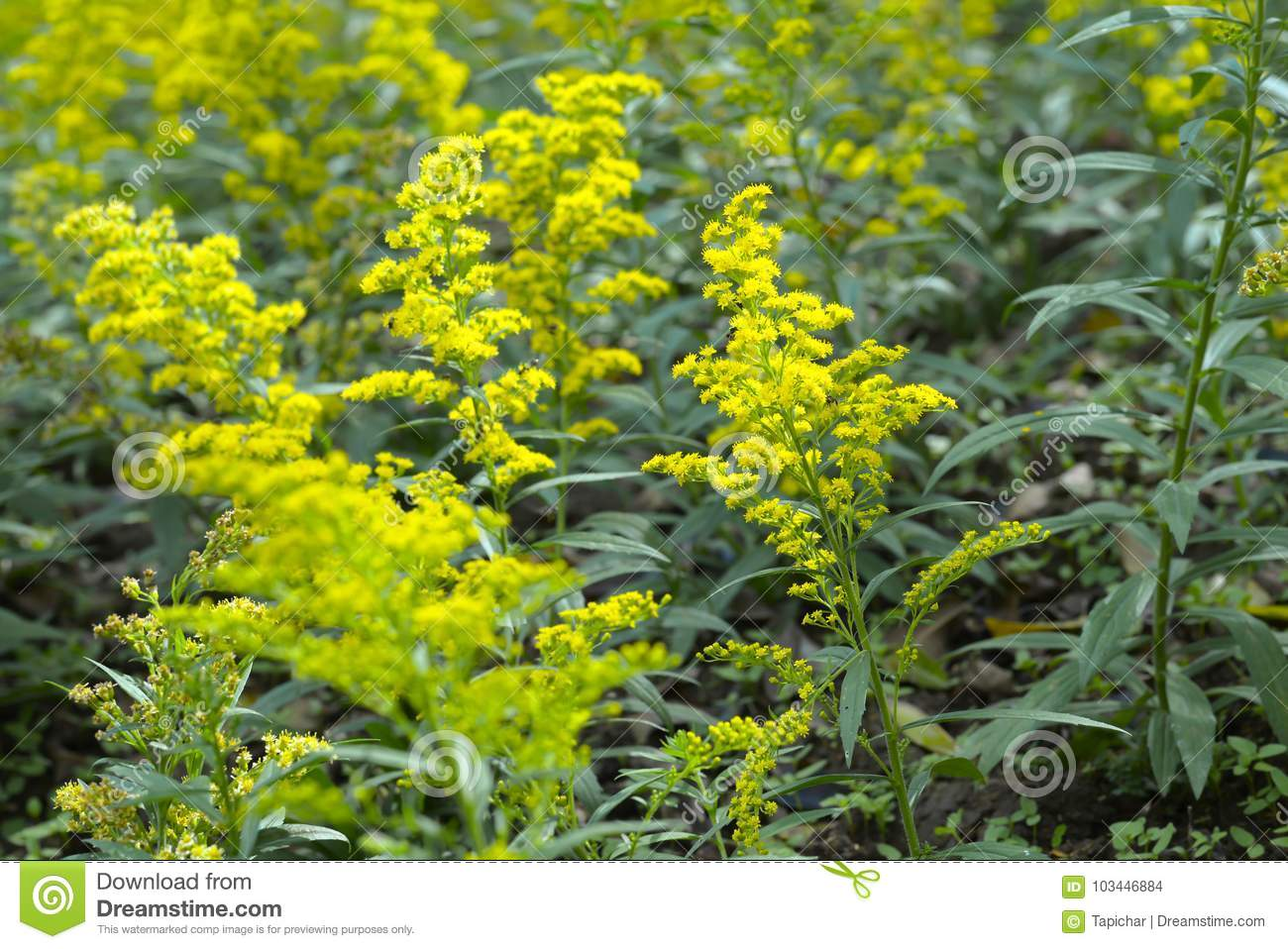 Small Yellow Flowers Golden Rod In The Garden Stock Photo Image