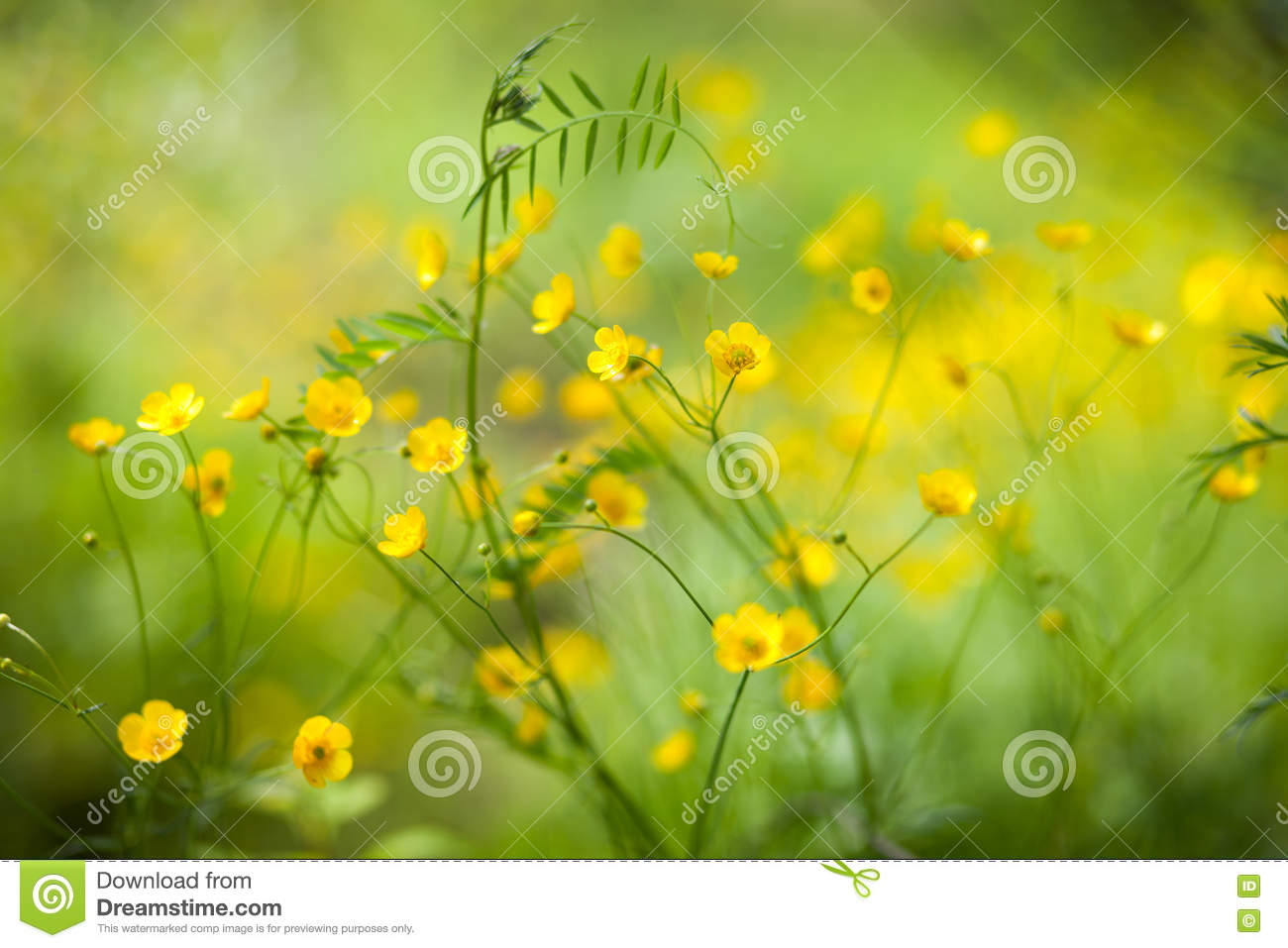 Small Yellow Flowers In Green Grass Stock Image Image Of