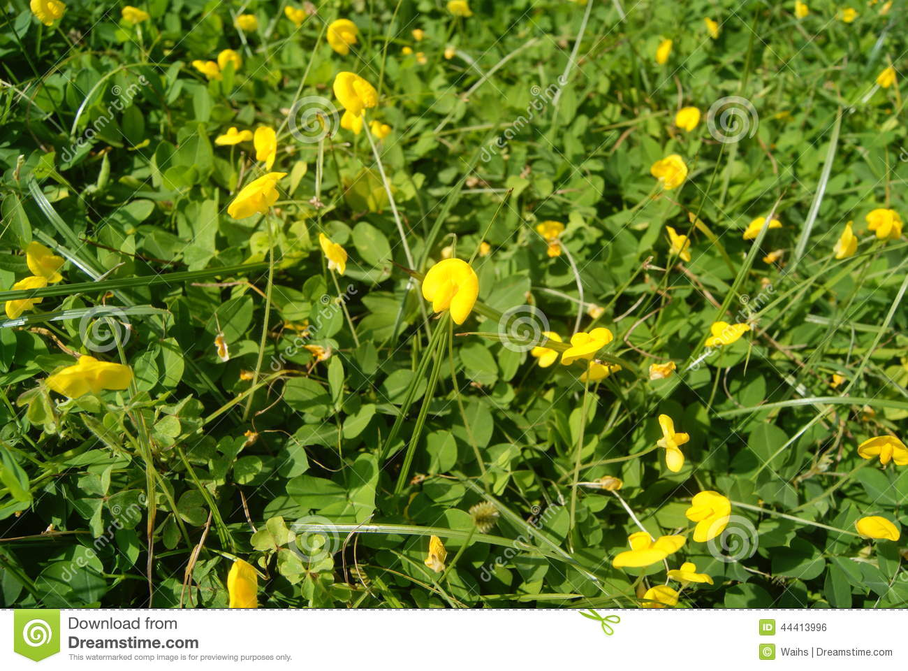 Small Yellow Flowers On The Lawn Stock Photo Image Of Plants