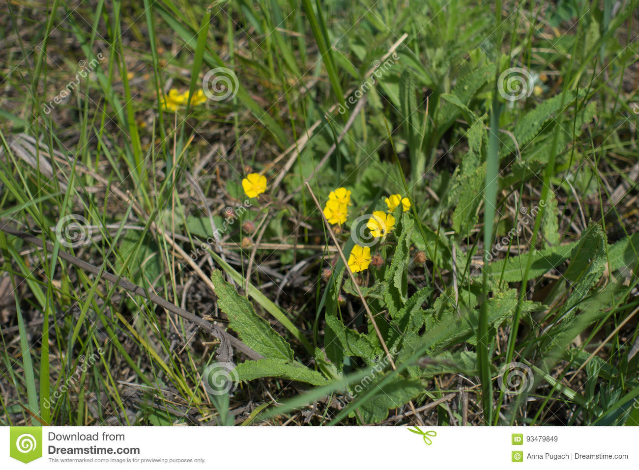 Small Yellow Flowers Of Potentilla In The Grass Stock Image Image