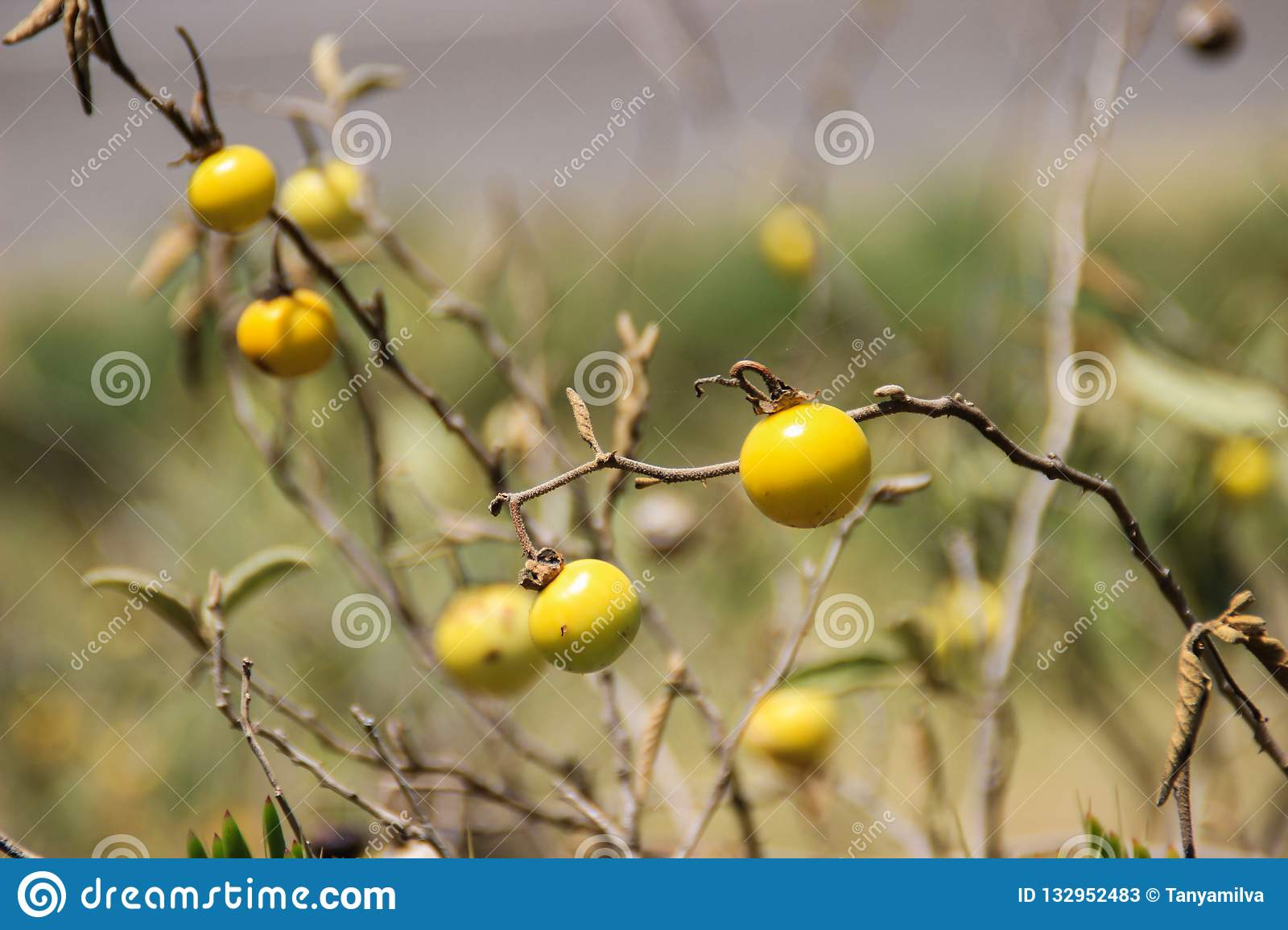 Small yellow fruits of an African plant