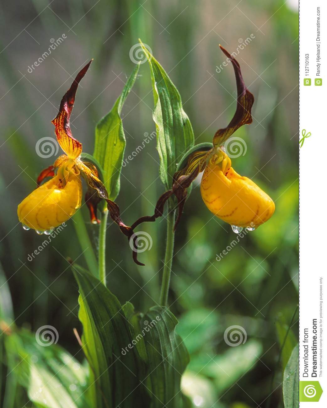 Small Yellow Ladyslippers Bloom With Color Stock Image Image Of