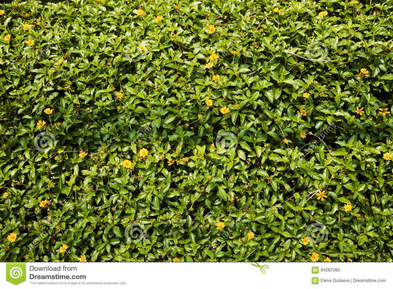Small Yellow Lawn Flowers Background Butter Daisy Herb In The