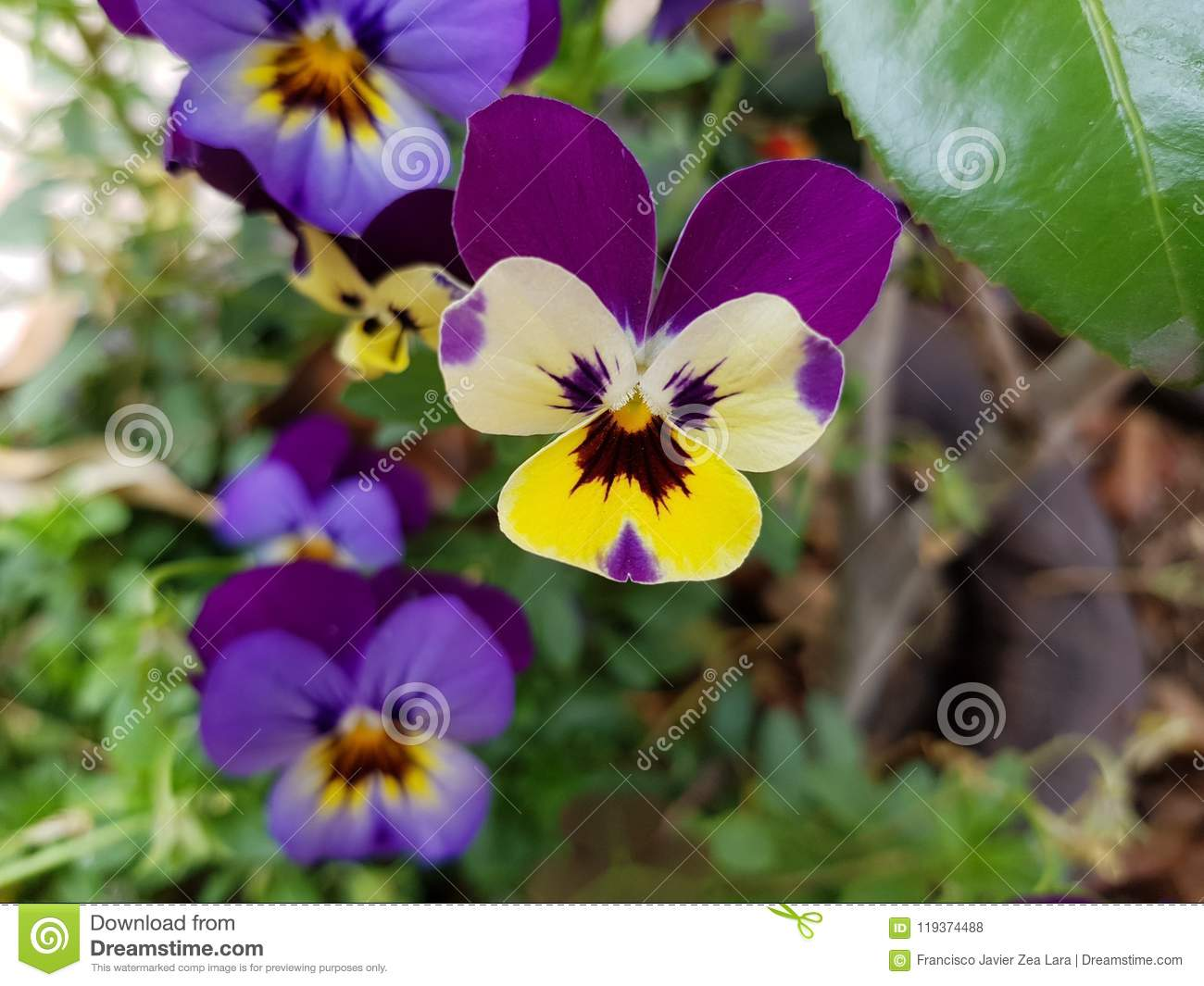 Small Yellow Pansy Flower With Purple In A Garden Stock Photo