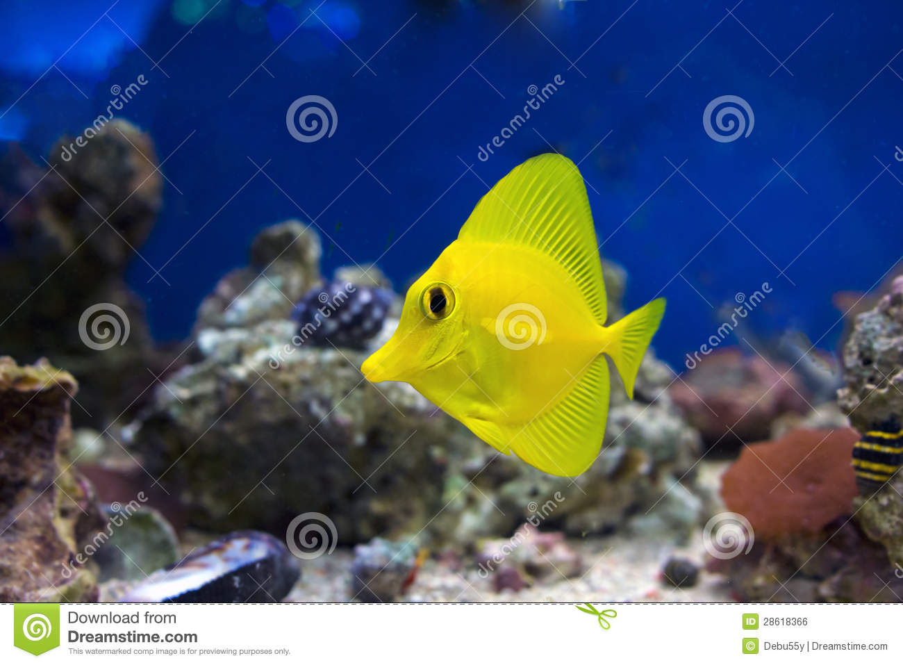 Small yellow tropical fish stock photo image 28618366 for Small tropical fish