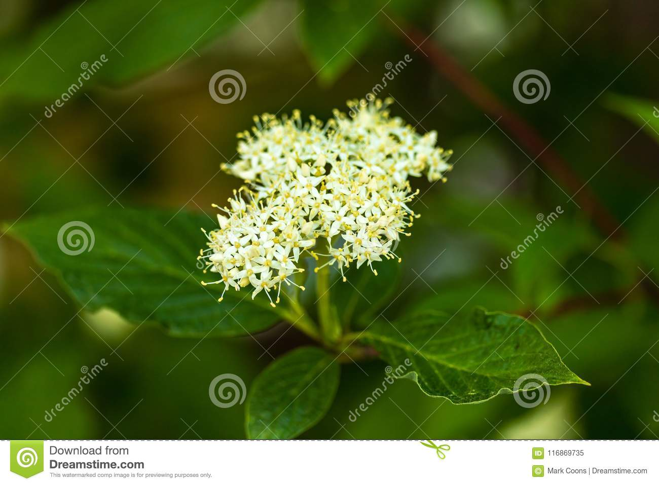 Small yellow and white flower clusters blooming on a shrub stock small yellow and white flower clusters blooming on a shrub mightylinksfo
