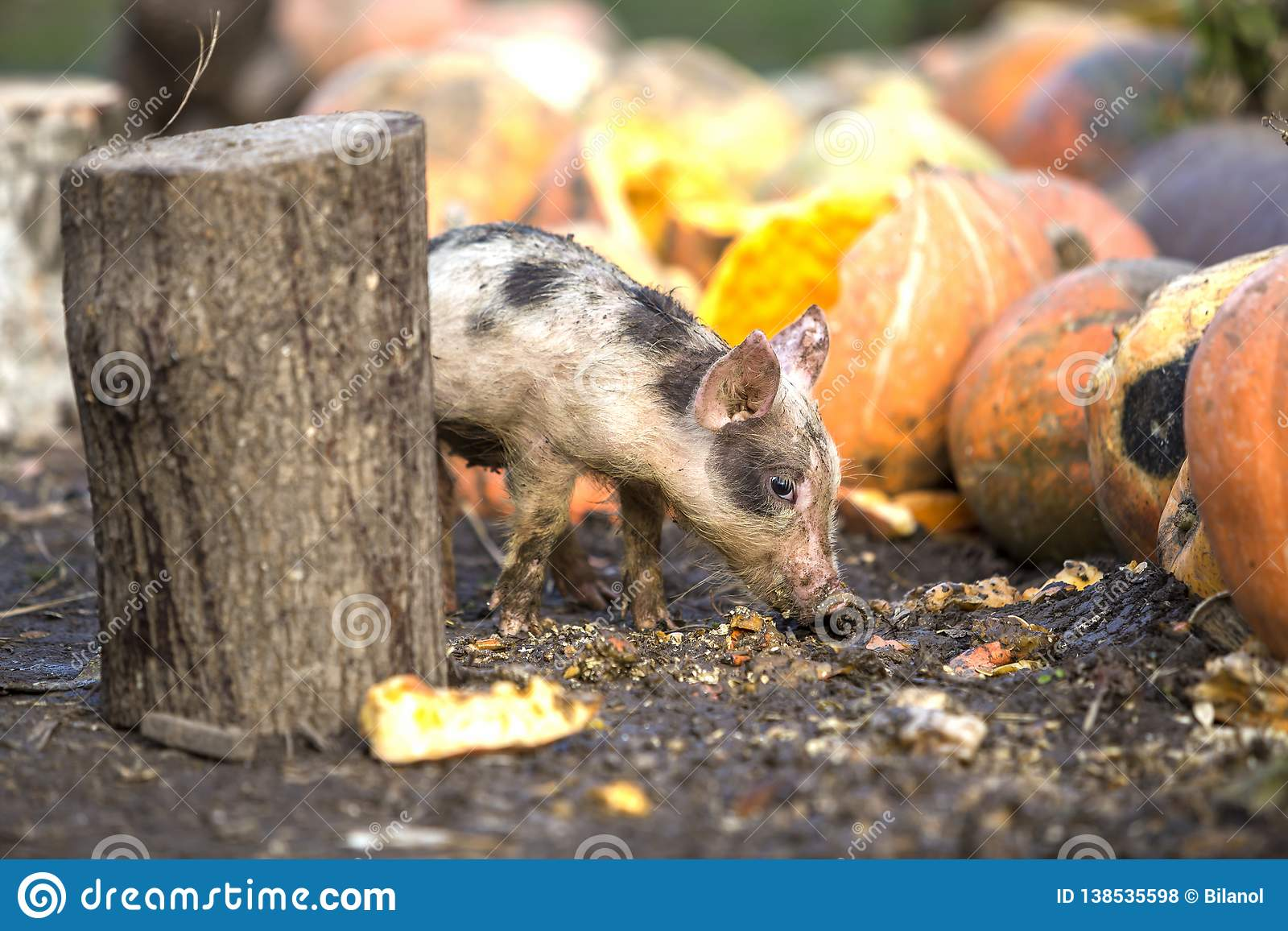 Small young funny dirty pink and black pig piglet feeding outdoors on sunny farmyard on background of pile of big pumpkins. Sow