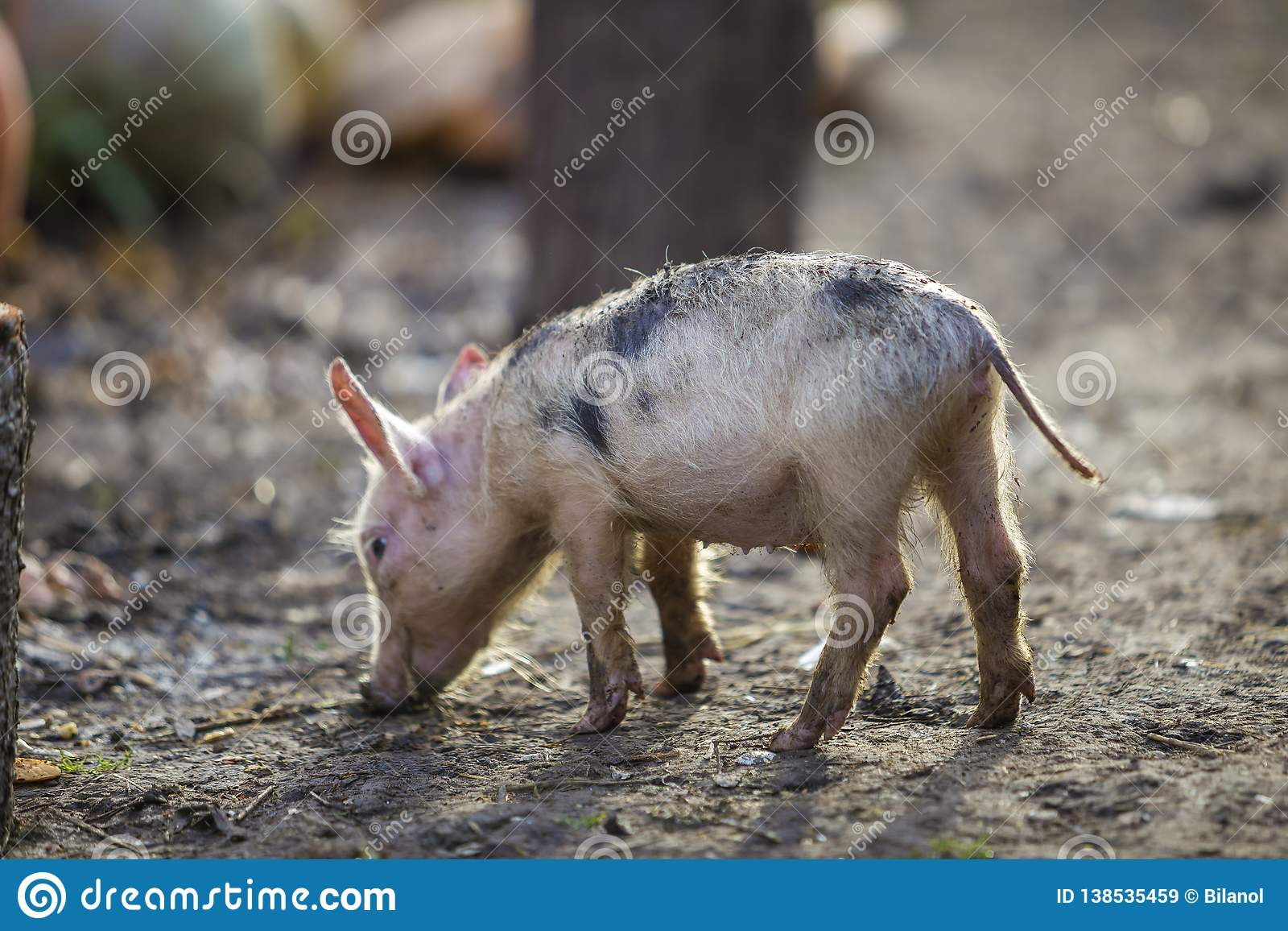 Small young funny dirty pink and black pig piglet standing outdoors on sunny farmyard. Sow farming, natural food production