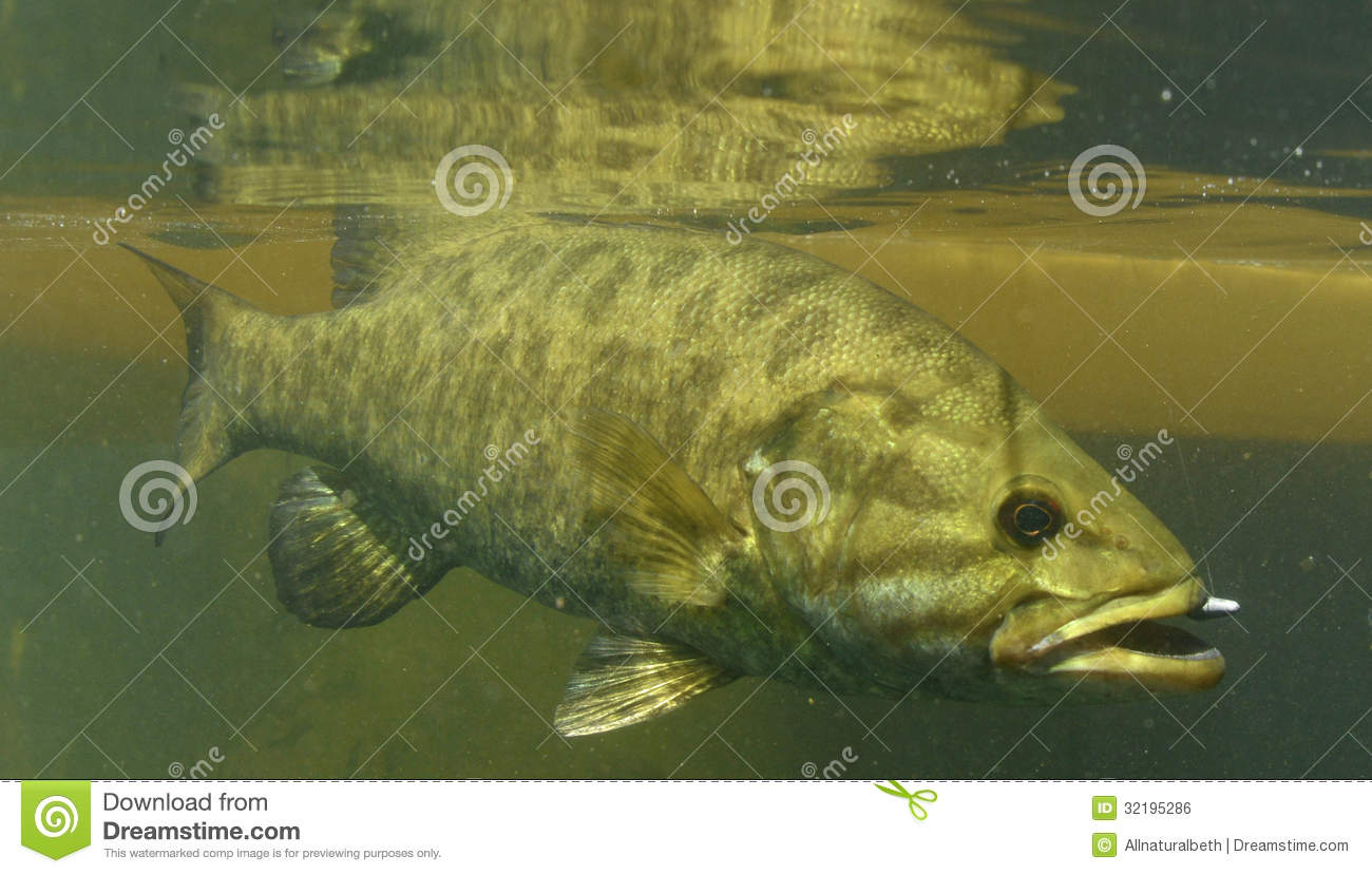 Smallmouth bass fish stock photo image of micropterus for Oregon free fishing