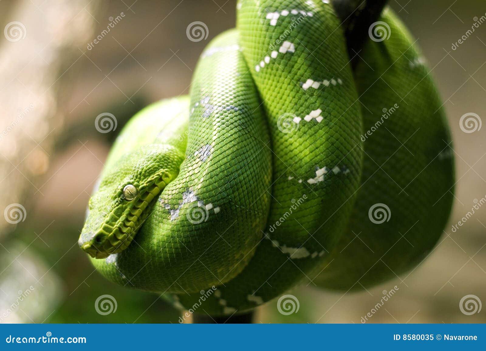 Smaragdgroene boaslang