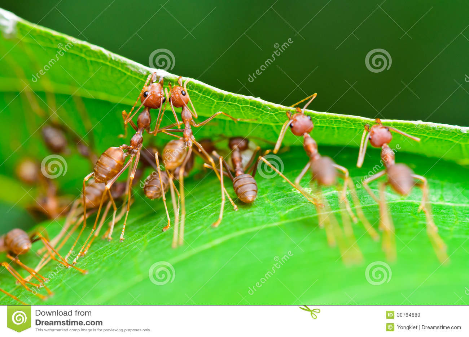 Smaragdina Oecophylla (общие имена включают муравея ткача,