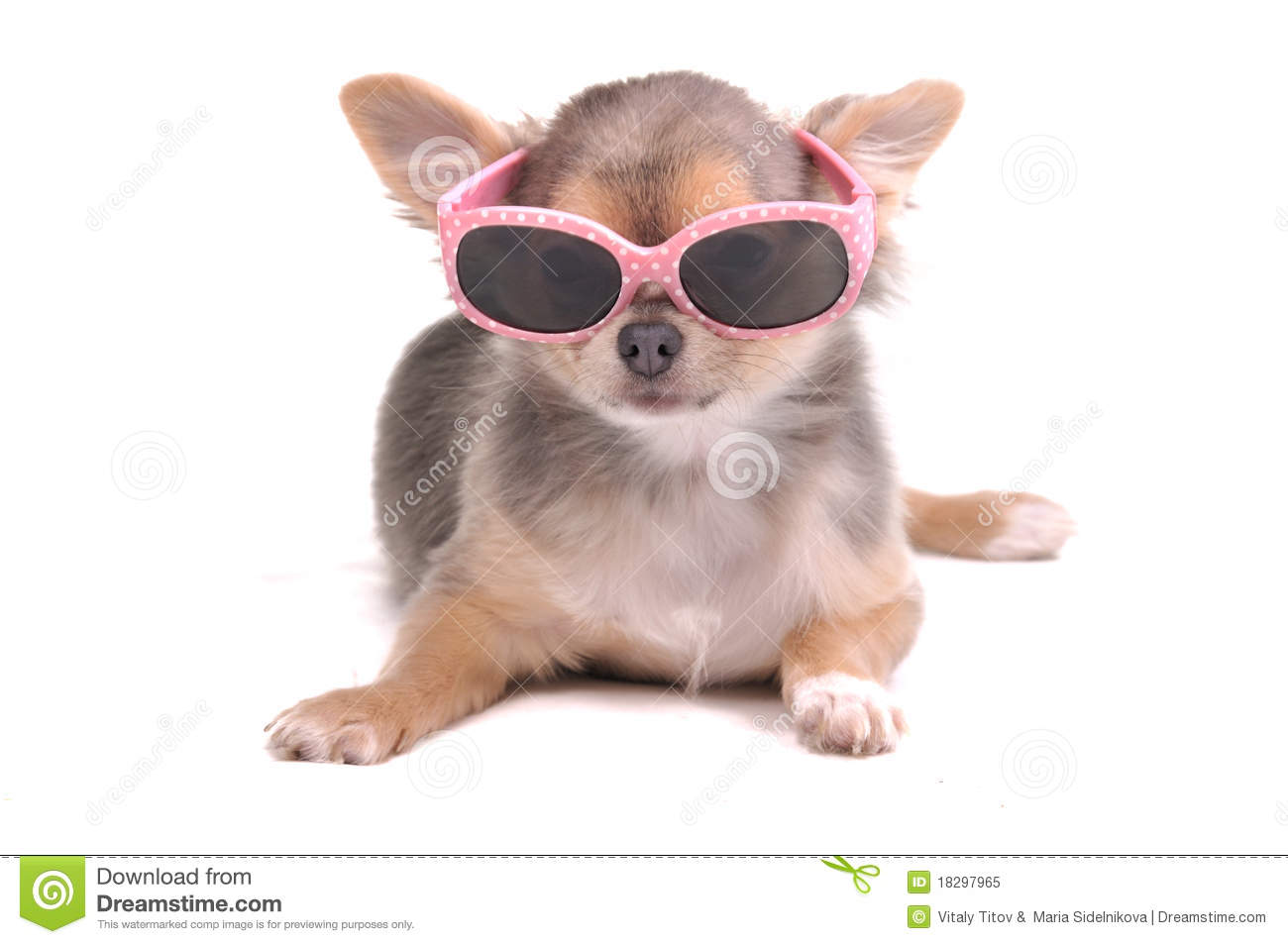 Smart Chihuahua Puppy Wearing Sun Glasses Stock Image Image Of