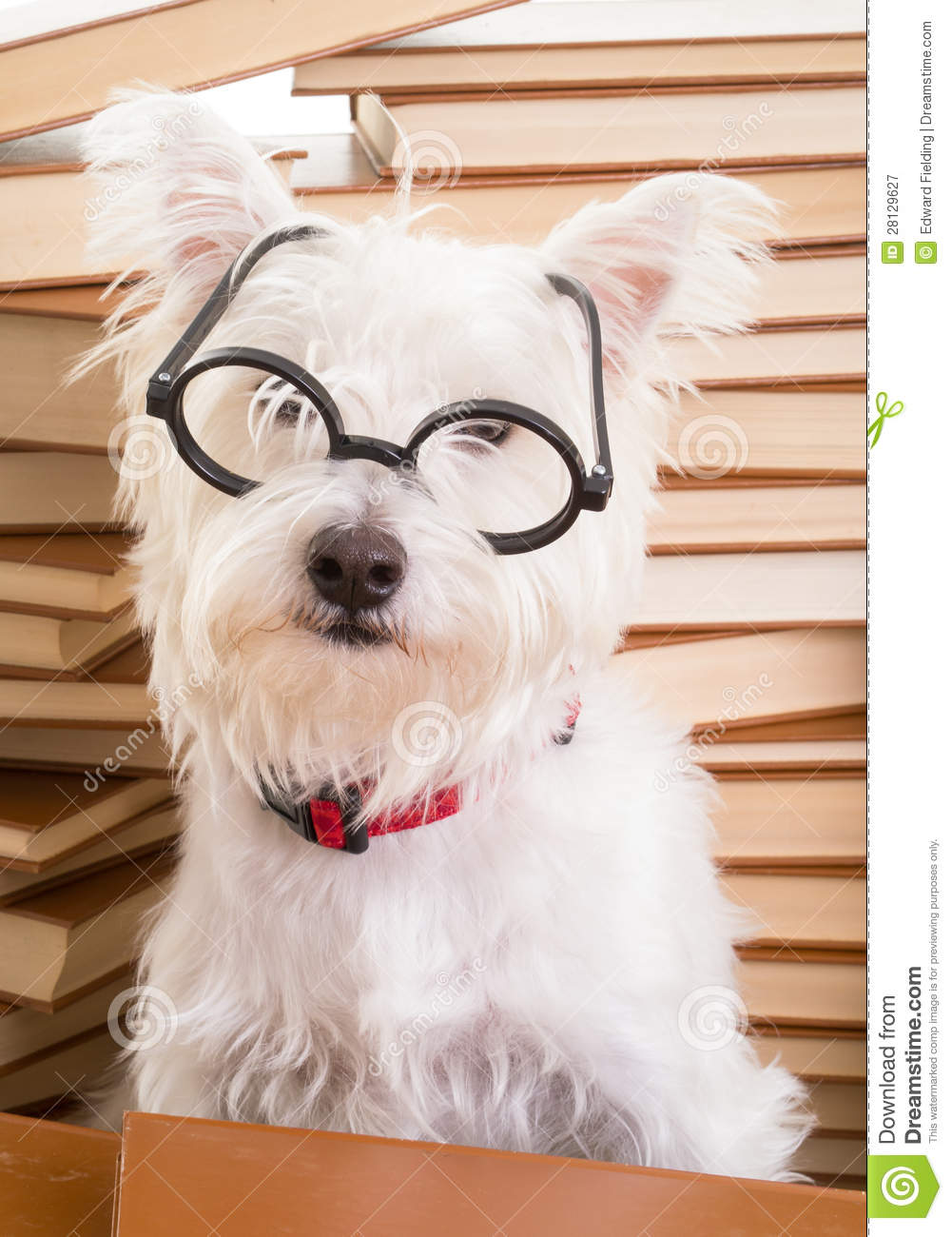 smart dog wearing glasses royalty free stock photography image 28129627 westie clip art black and white westie clipart free
