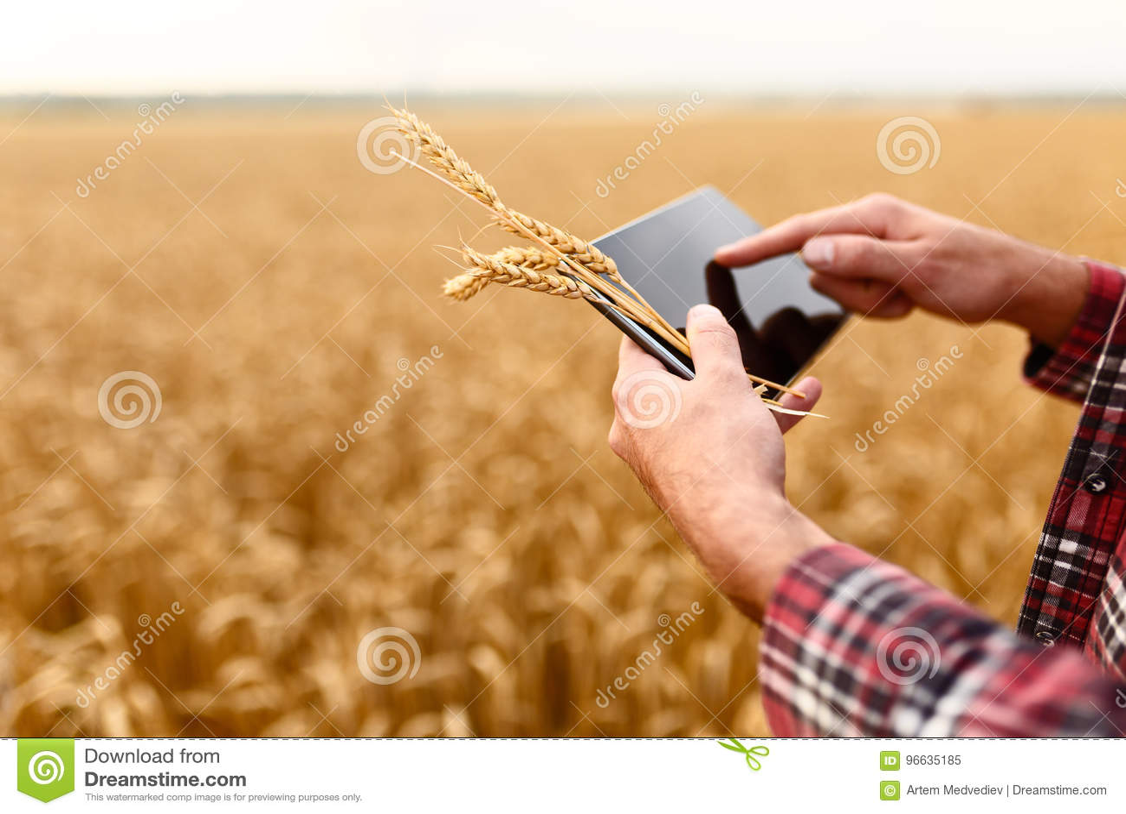 Smart lantbruk genom att använda moderna teknologier i jordbruk Man agronombonden med den digitala minnestavladatoren i vete