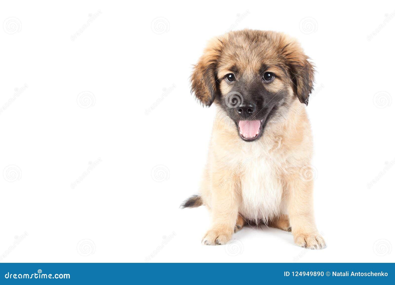 Smiles Puppy Of A Golden Retriever Shepherd Funny Cute Dog Smiling Stock Photo Image Of Mammal Retriver 124949890
