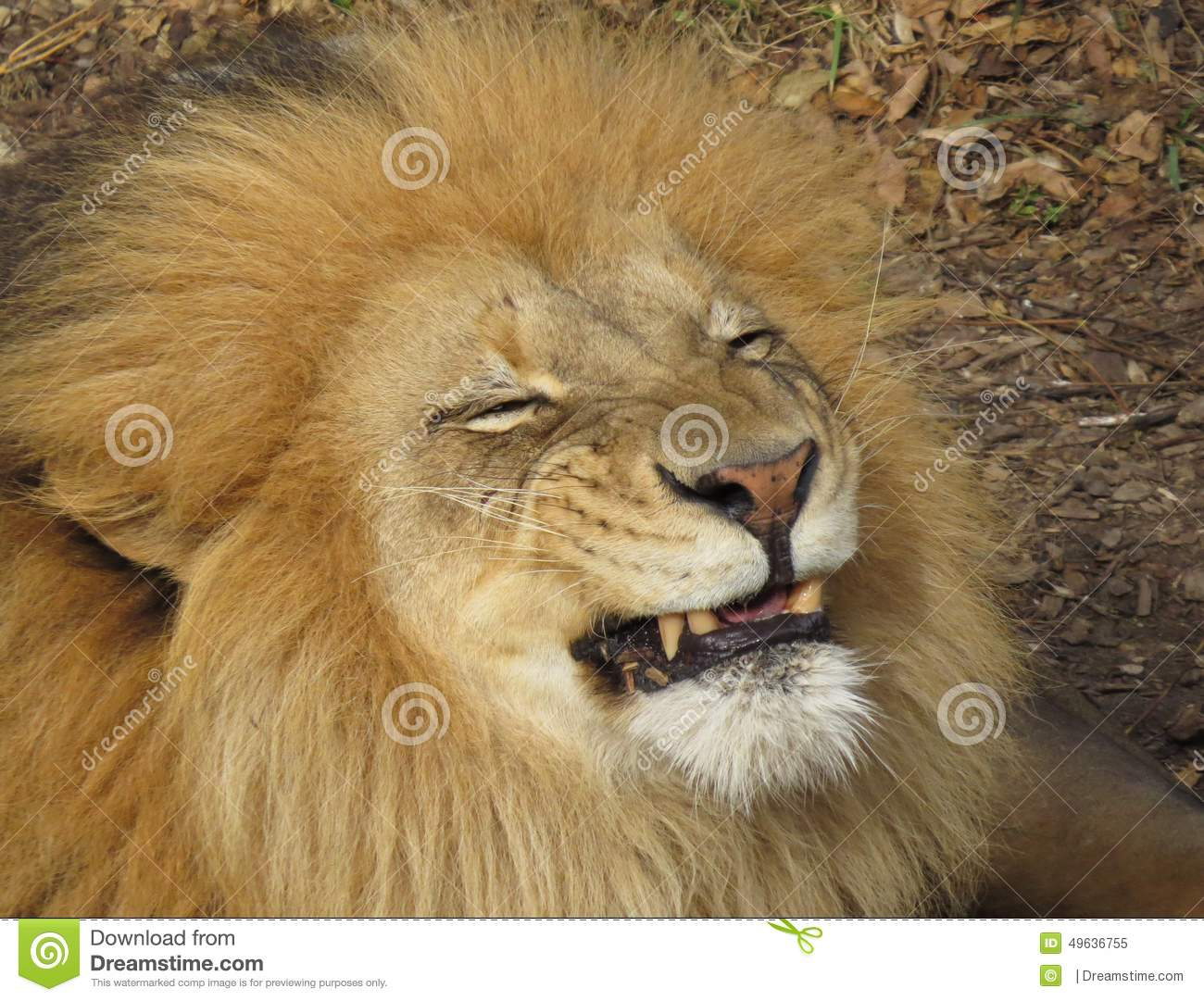 Smiley Face Lion stock image. Image of silly, handsome ...