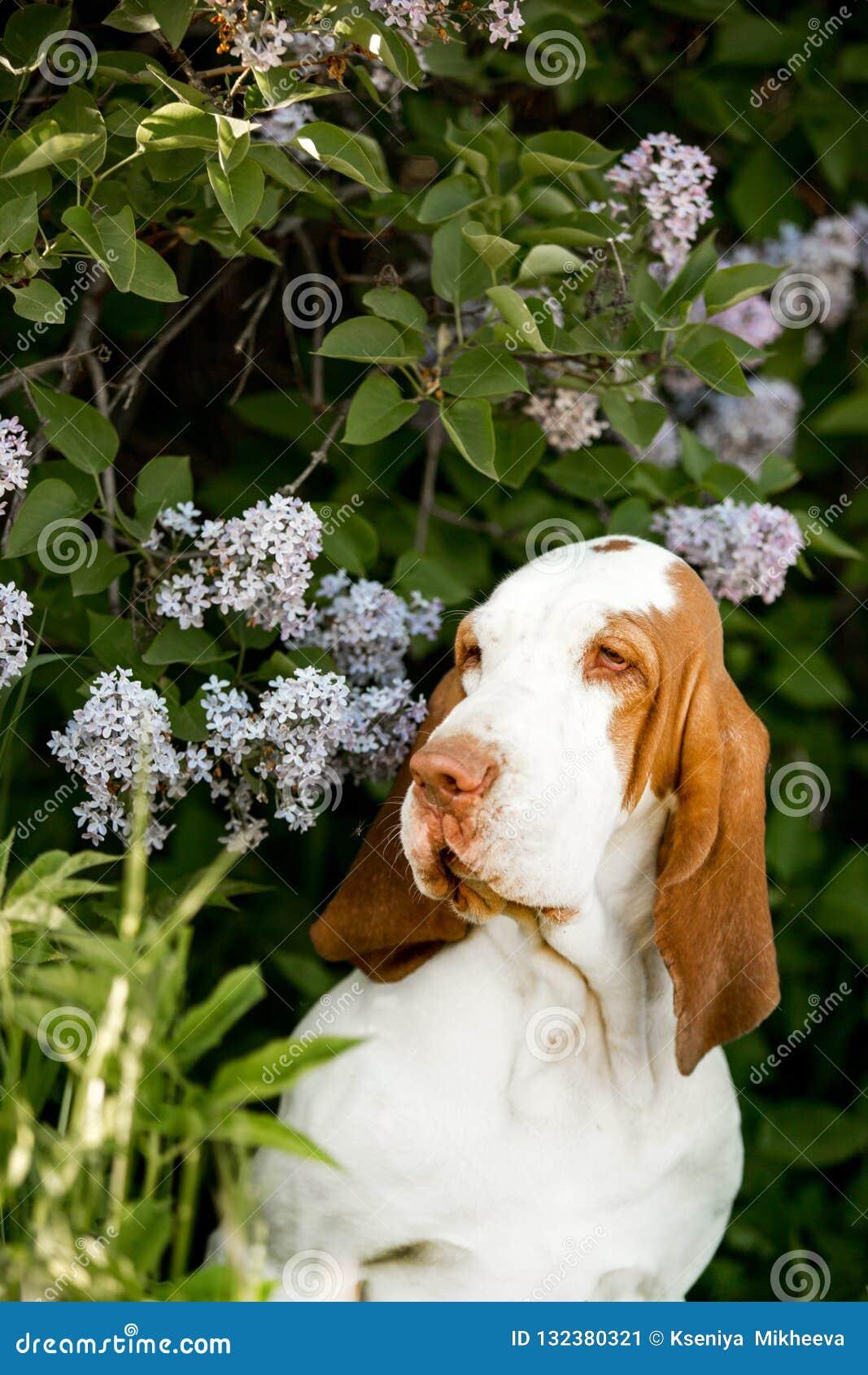 smiling Basset hound dog standingin flowers. green background