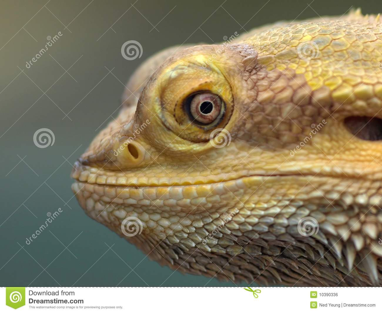 Smiling bearded dragon lizard.