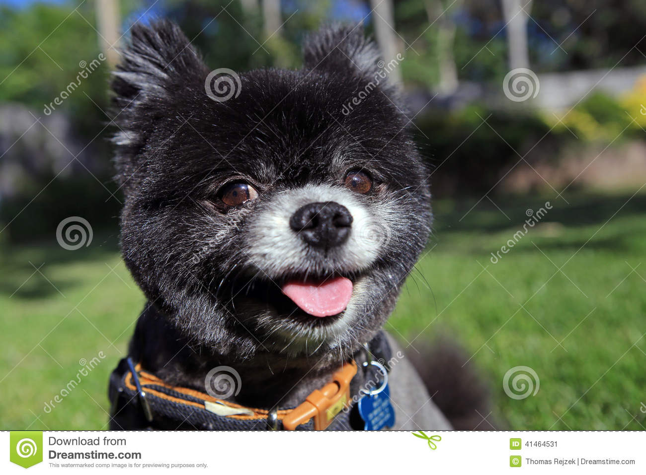 Smiling Black Pomeranian Stock Photo 41464531 Megapixl