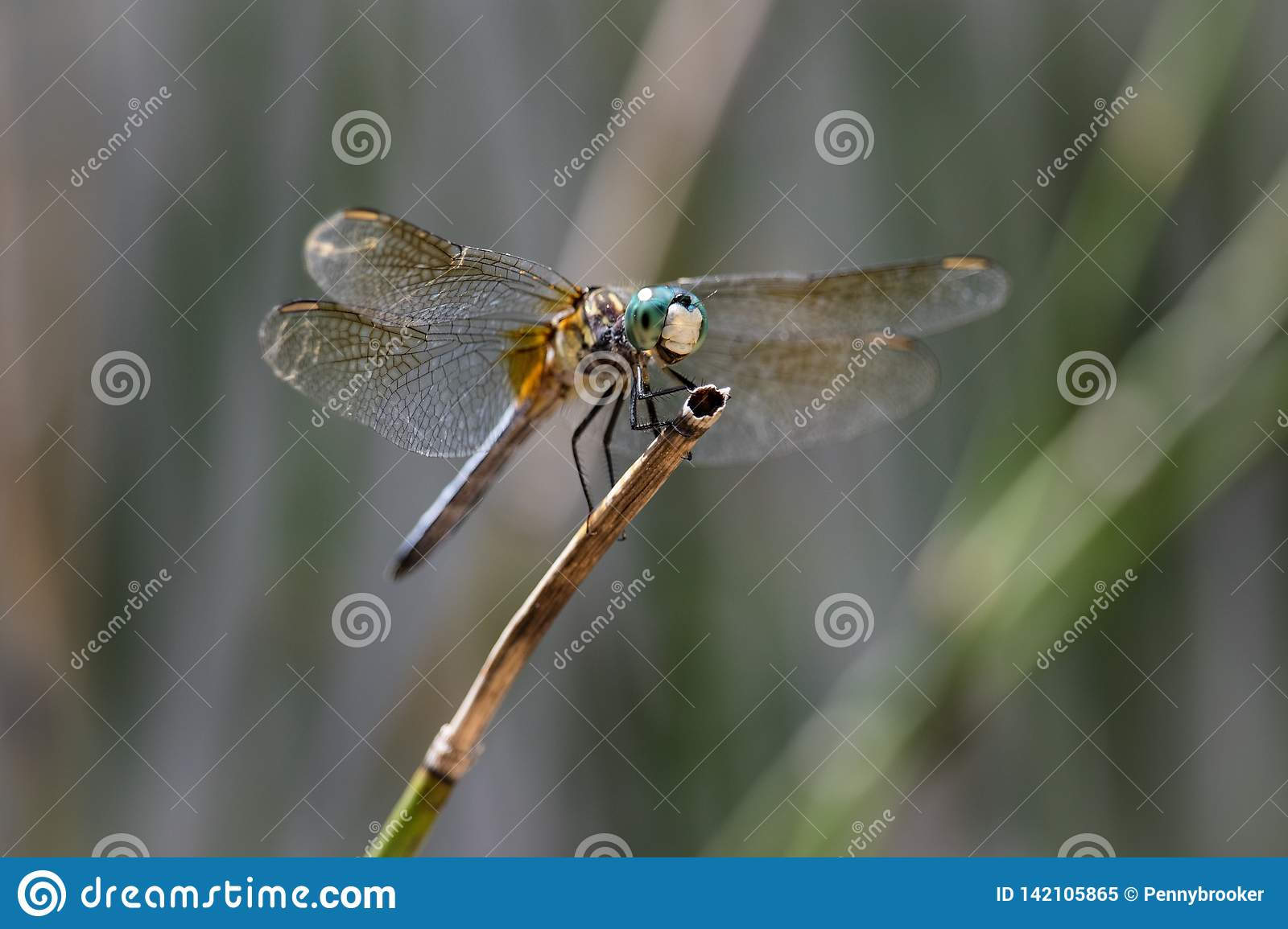 Smiling Blue Dasher Dragonfly sitting on reed