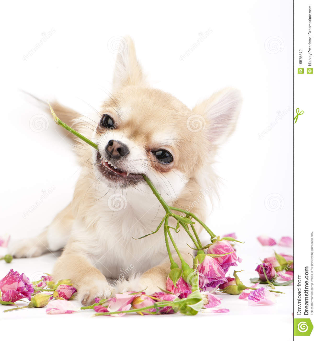 Smiling Chihuahua Puppy Giving Pink Roses Stock