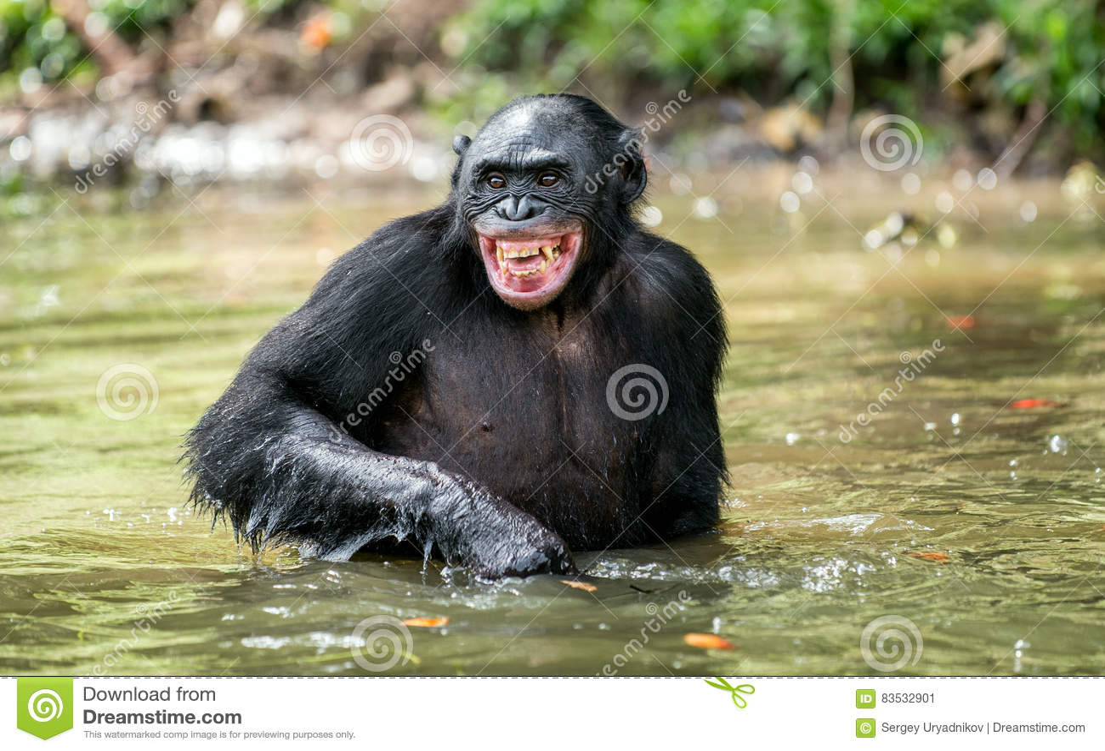 Smiling Chimpanzee Bonobo in the water