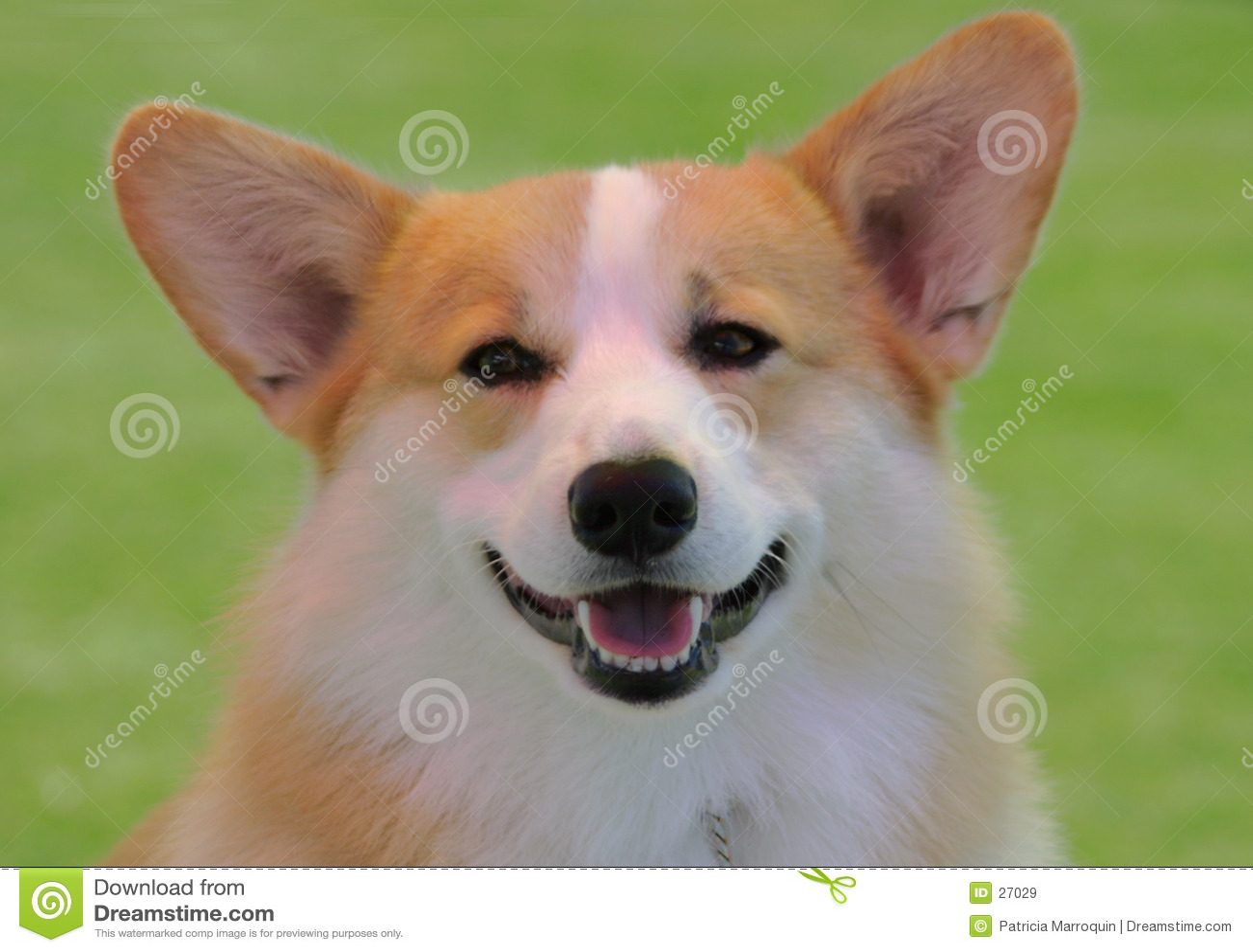 Smiling Corgi