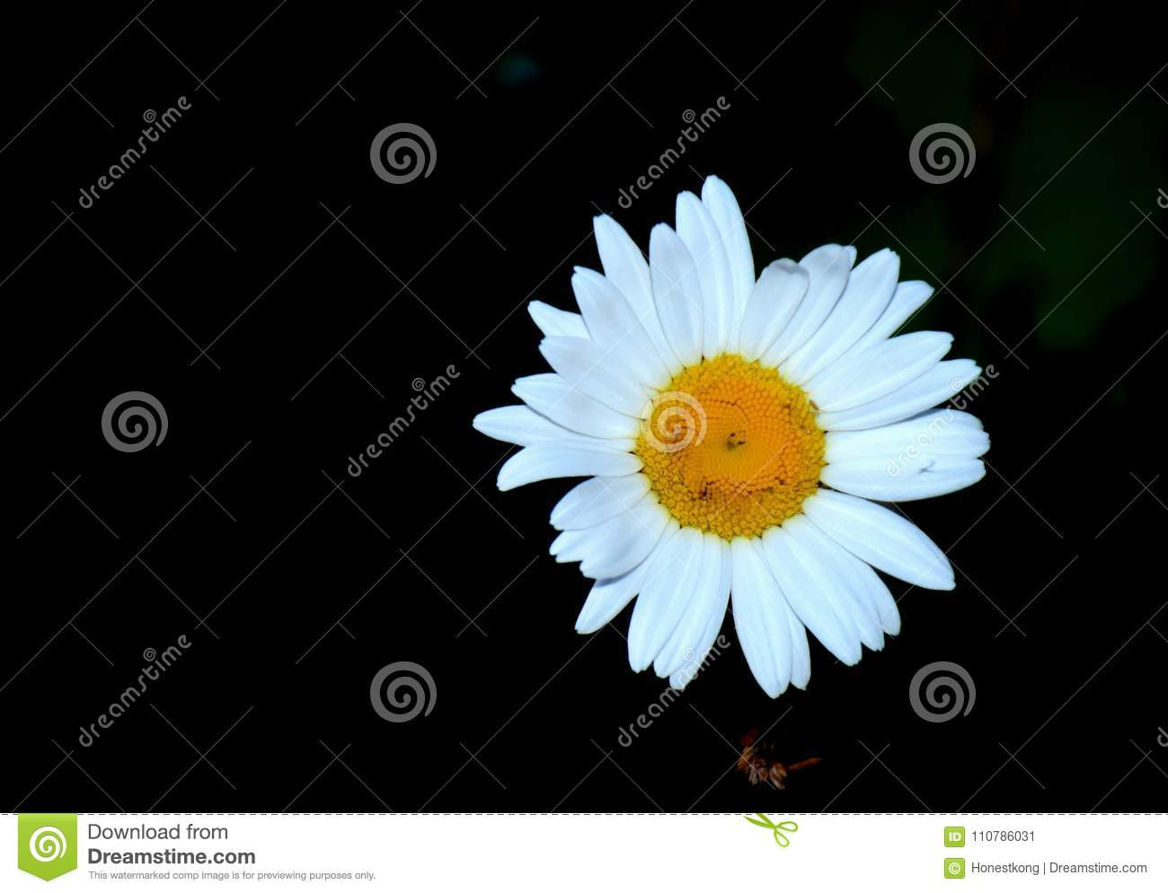 Smiling Daisy In Sweden Stock Image Image Of Face Growing 110786031