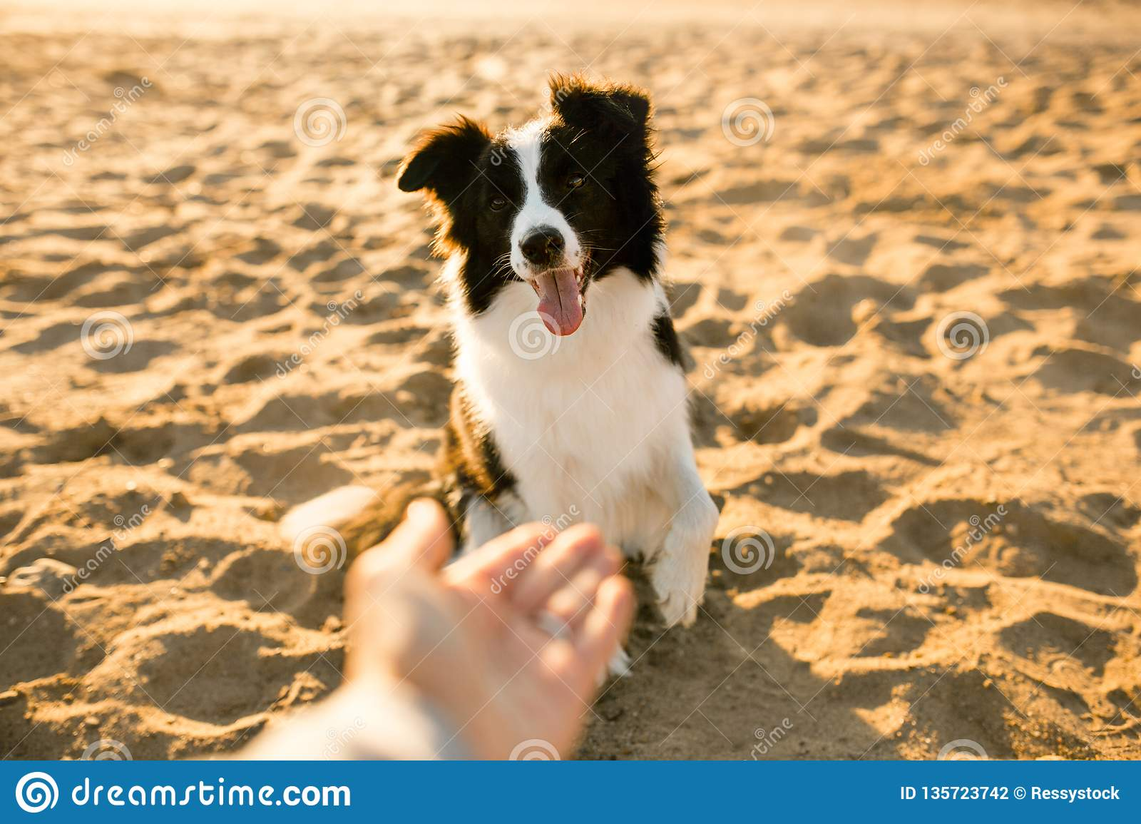 Smiling funny border collie dog on beach . sea on background