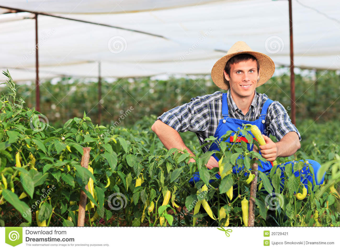 A Smiling Gardener Picking Peppers In A Garden Stock Image