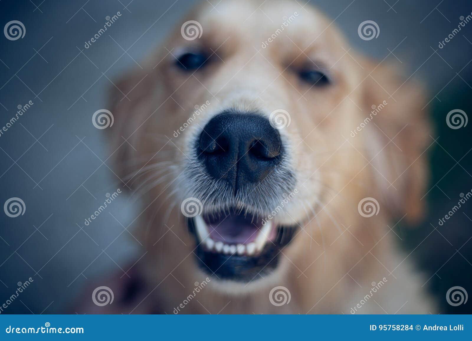 Smiling Golden Retriever Dog Eyes Close Up Focus Portrait White
