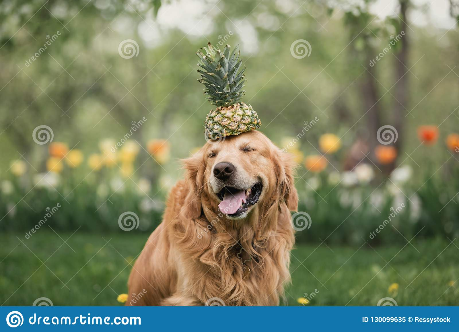 Smiling golden Retriever in flowers holds pineapple on the head