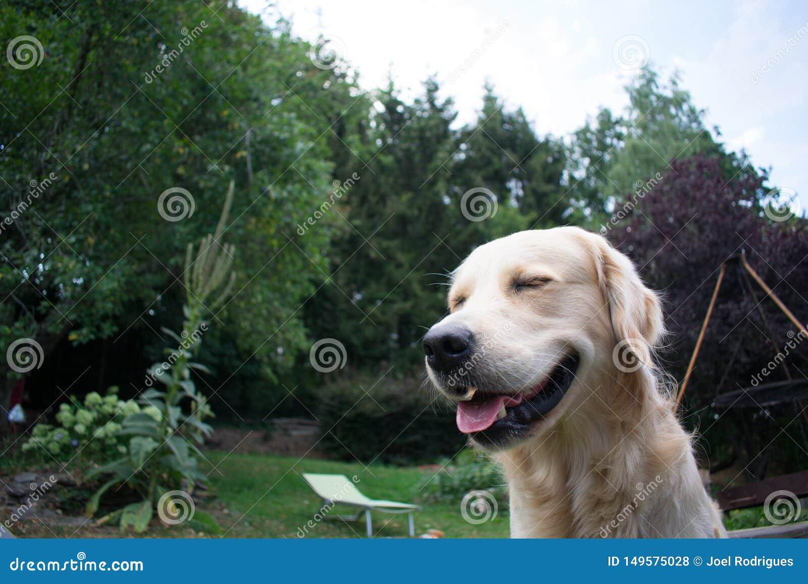 Smiling golden retriever in garden