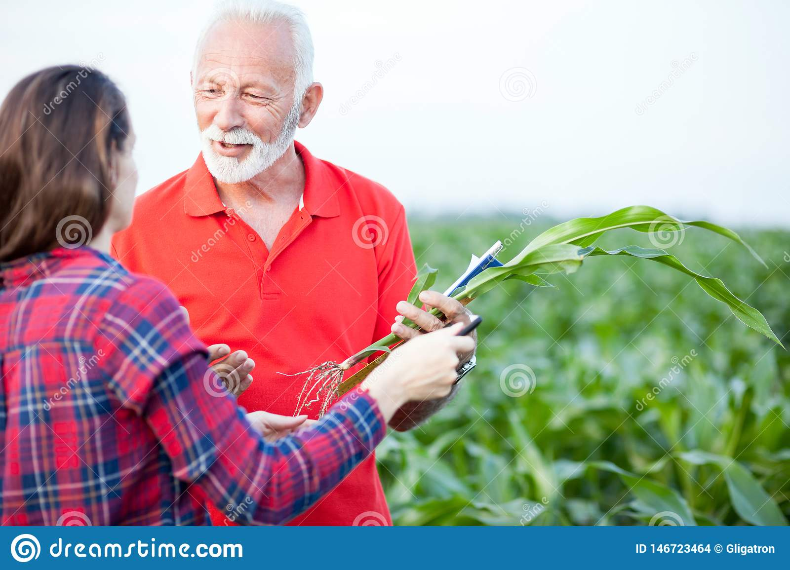 Smiling gray haired senior agronomist talking to his young female colleague in a corn field