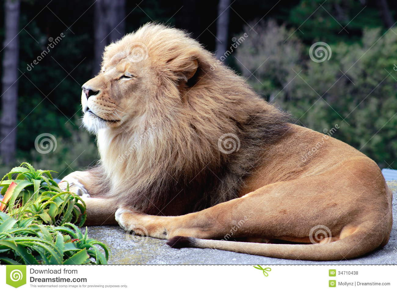 A Smiling Lion Royalty Free Stock Photos Image 34710438