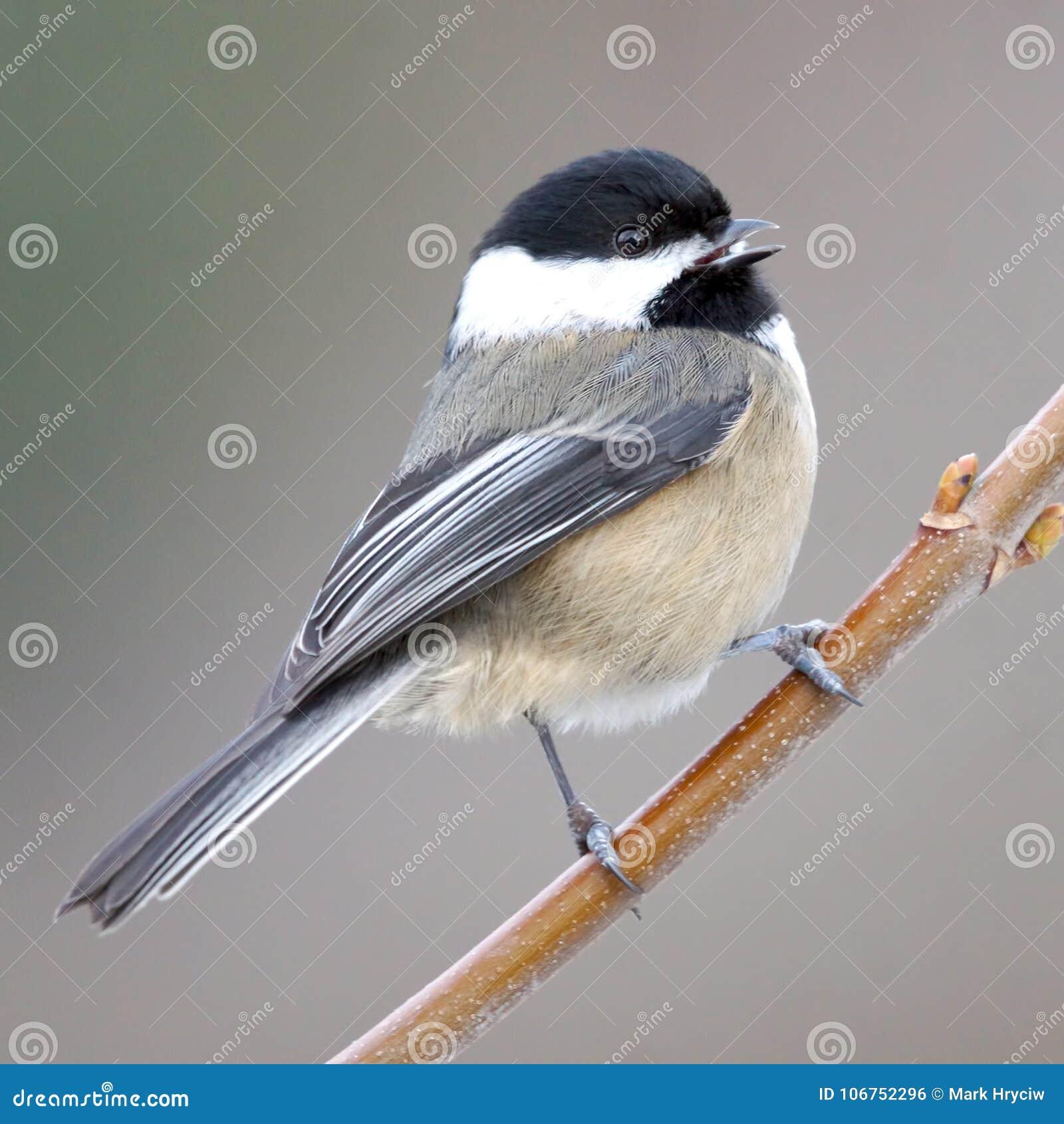 A Happy Friendly Small Cute Bird Called A Chickadee Stock