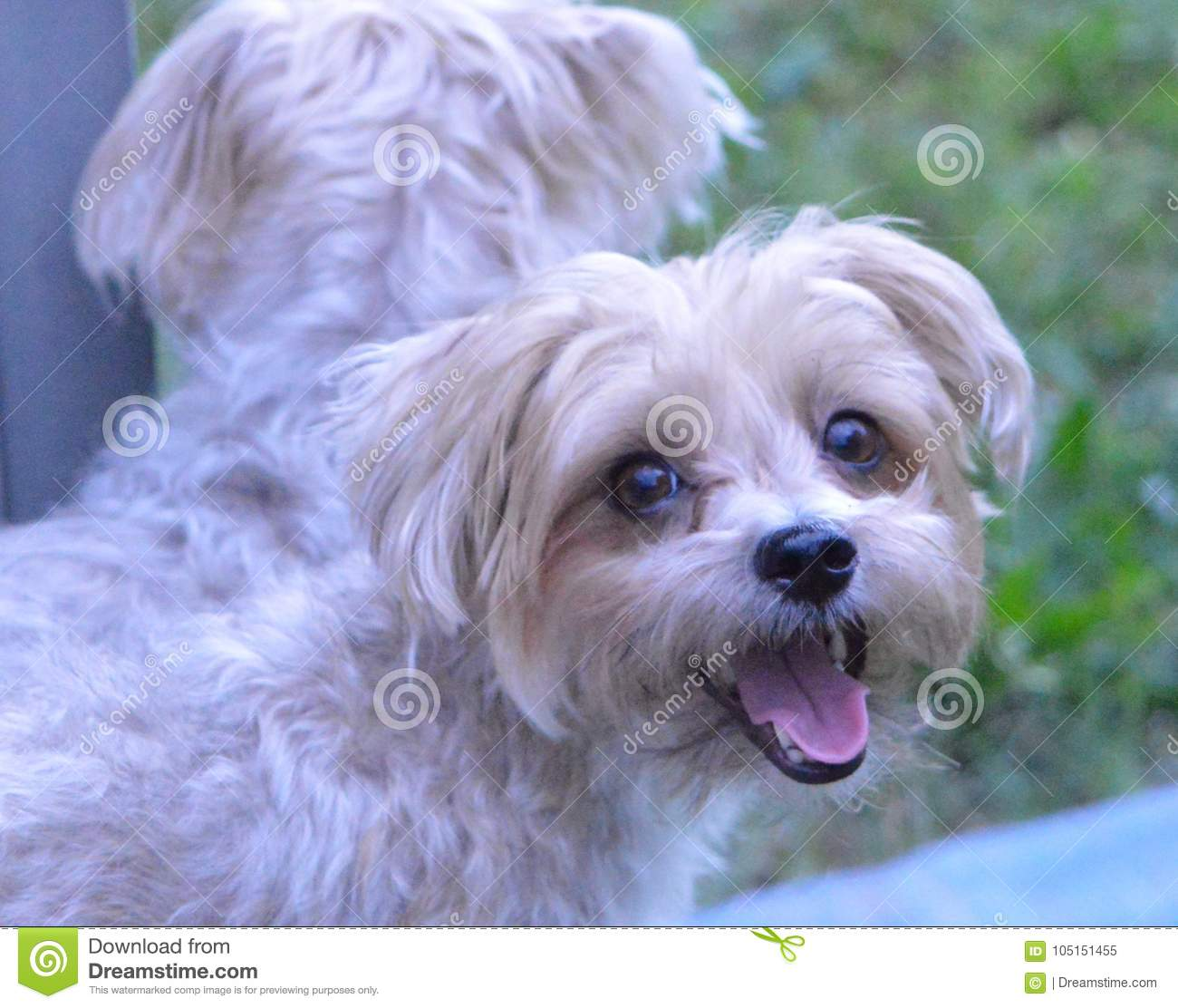 The Smiling Morkie Stock Image Image Of Smile Maltese 105151455