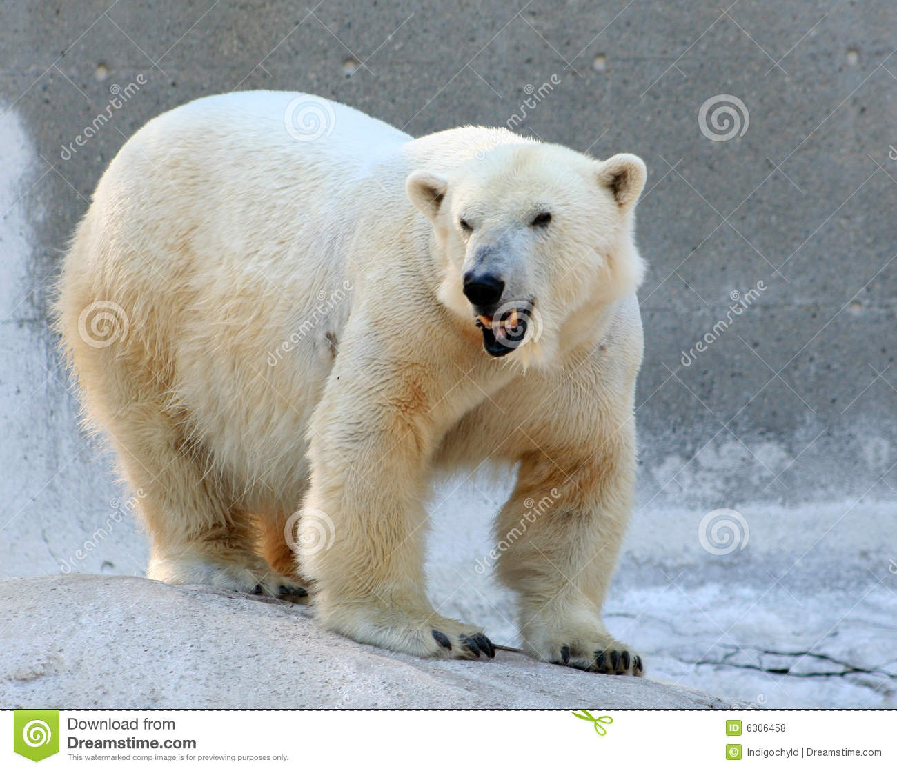 Polar bear smiling - photo#8