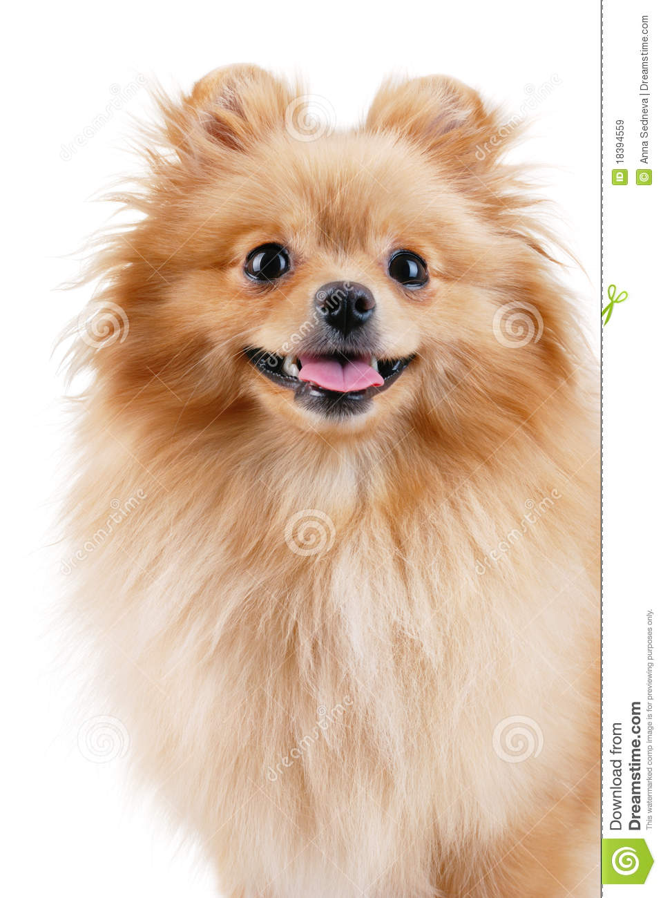 Displaying 16> Images For - Pomeranian Clipart...