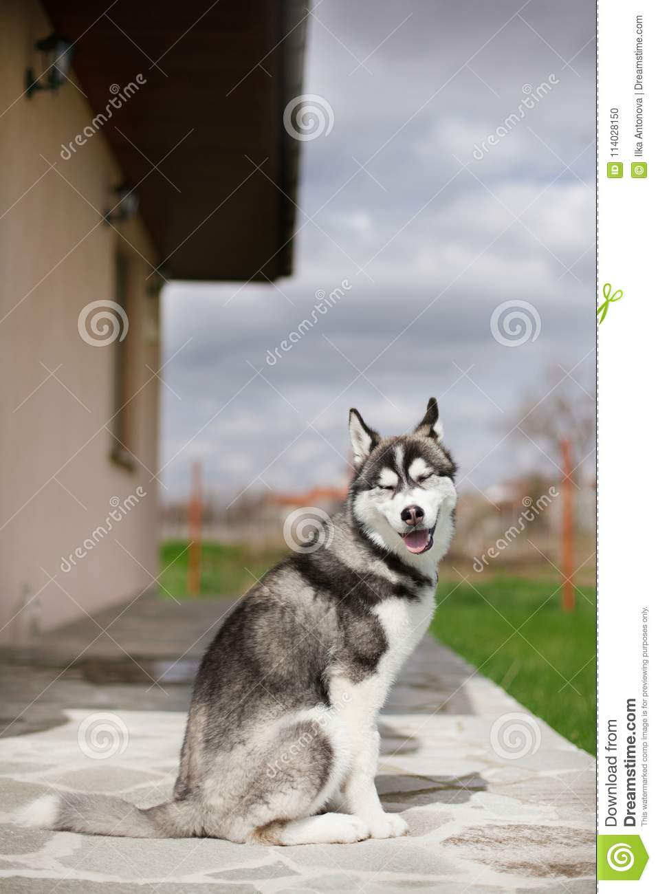 Smiling Puppy Husky Stock Photo Image Of Puppy Tail 114028150