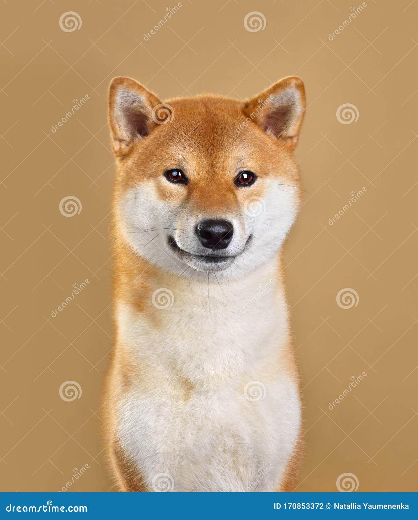 Smiling Shiba Inu Dog Stock Photo Image Of Canine Animal 170853372